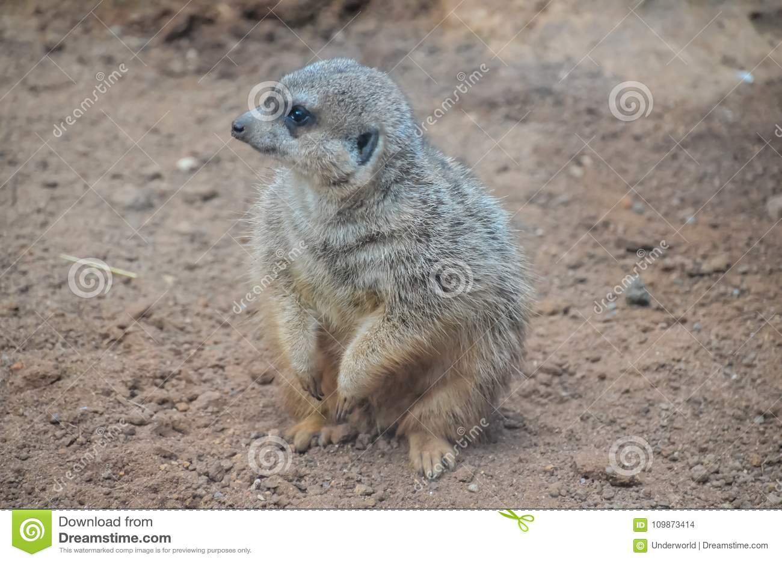 Mały Carnivore ssaka zwierzęcia Suricata