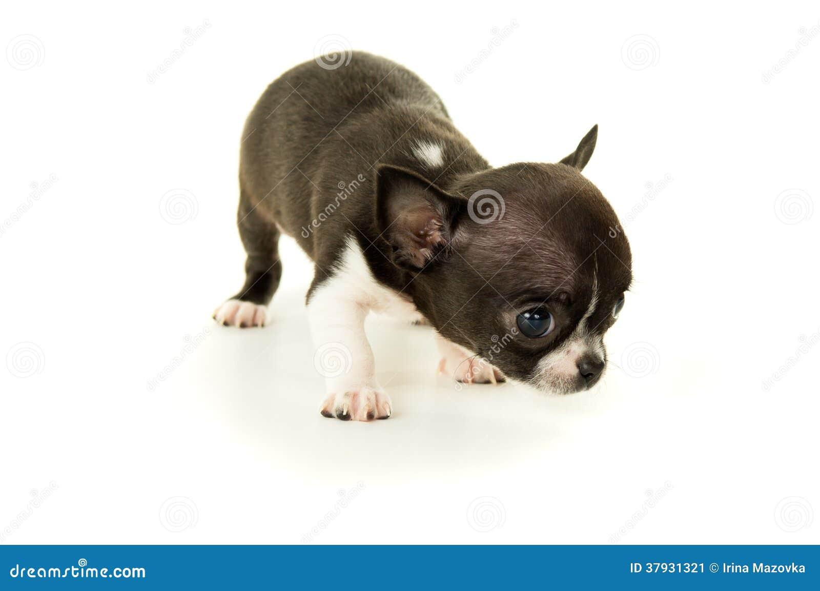 Mały chihuahua szczeniak