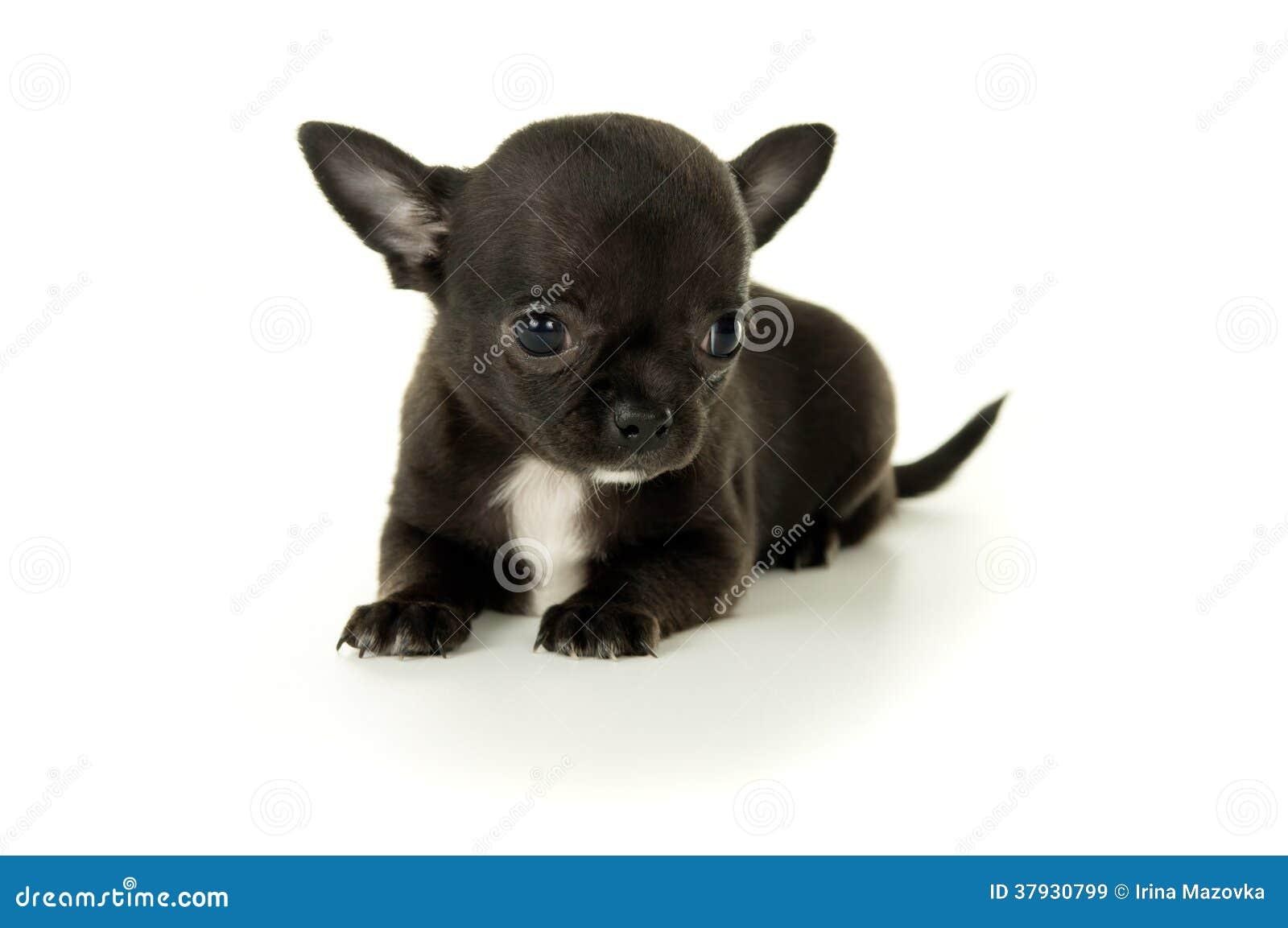 Mały czarny chihuahua szczeniak