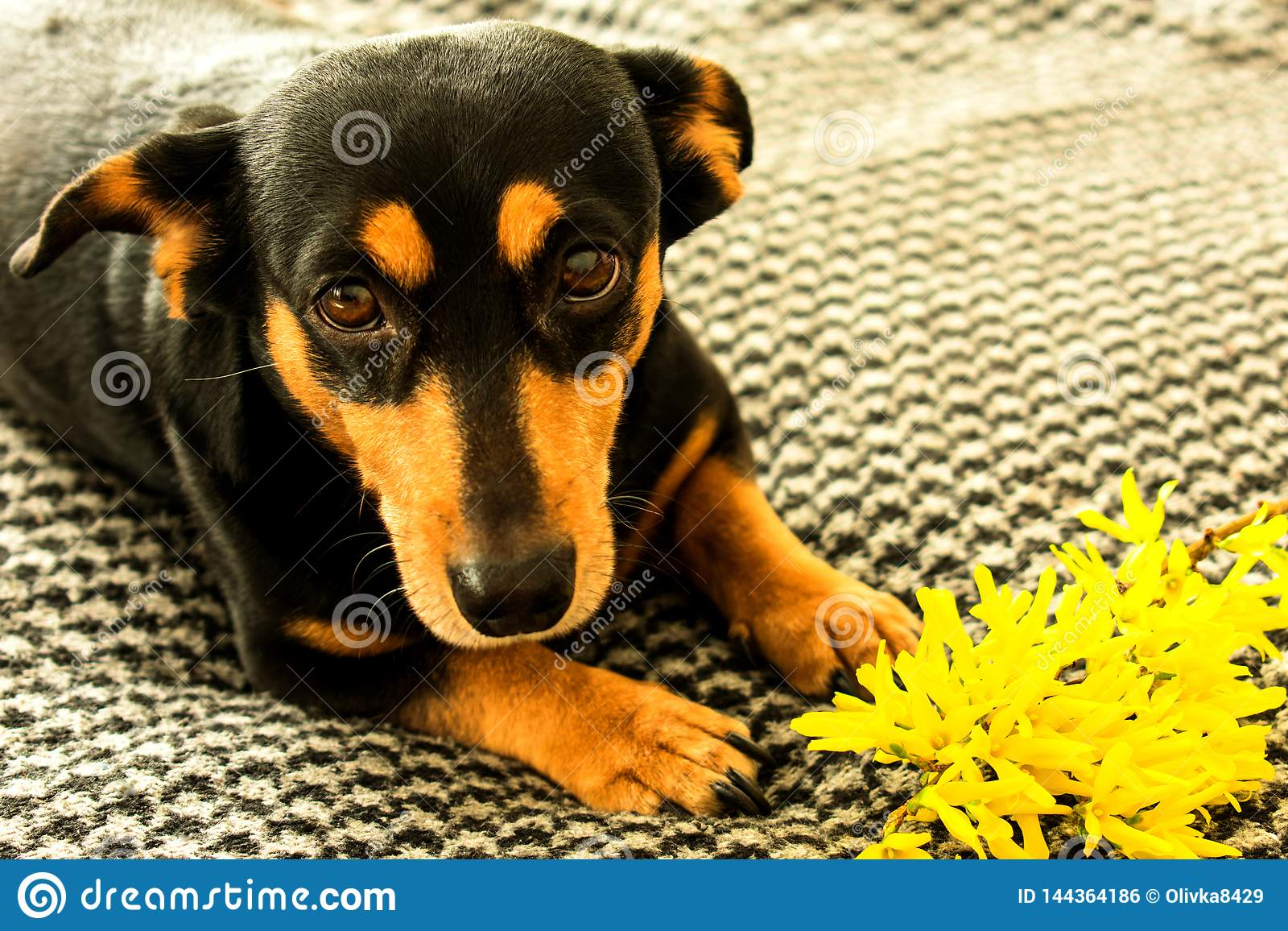 Mały czarny pies z forzitsya żółtym kwiatem
