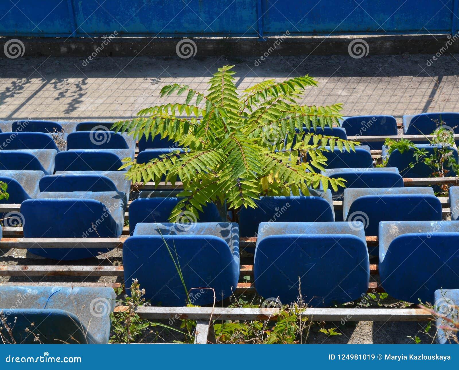 Mały drzewo r między siedzeniami zniszczona widowiskowa mównica w zaniechanym stadium