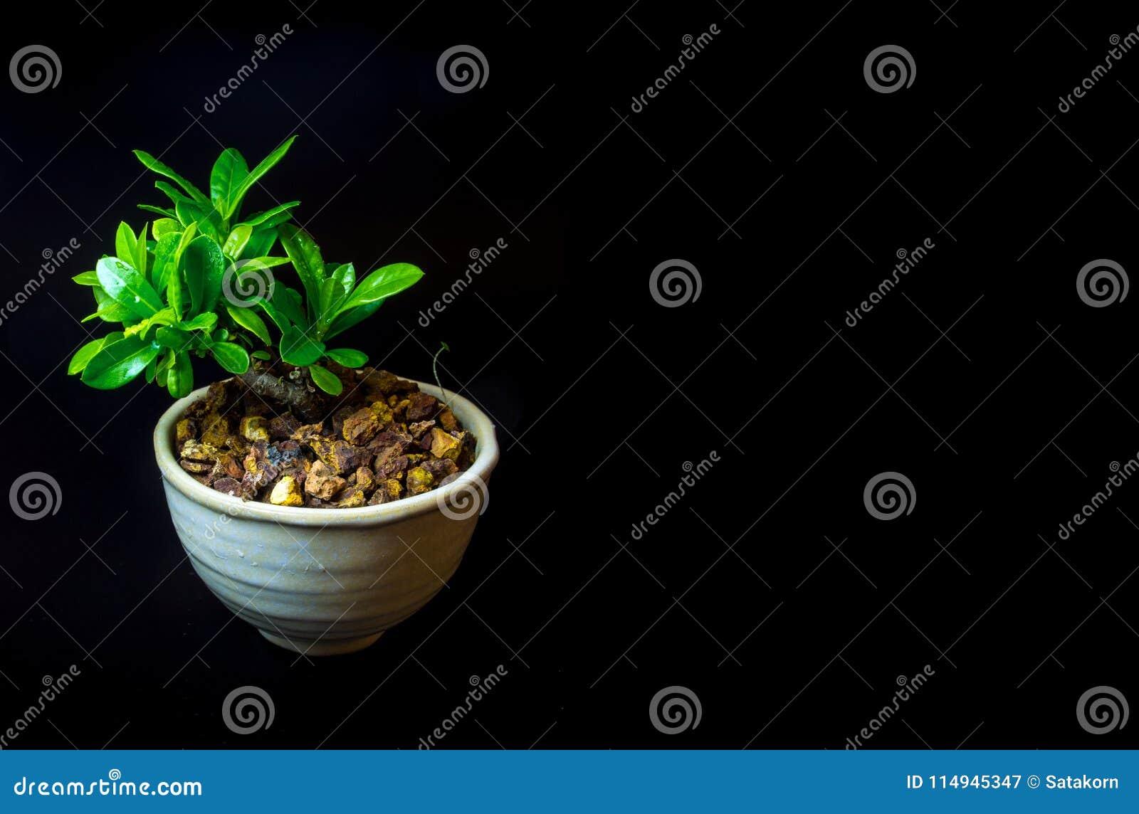 Mały drzewo w białym ceramicznym garnku na czarnym tle