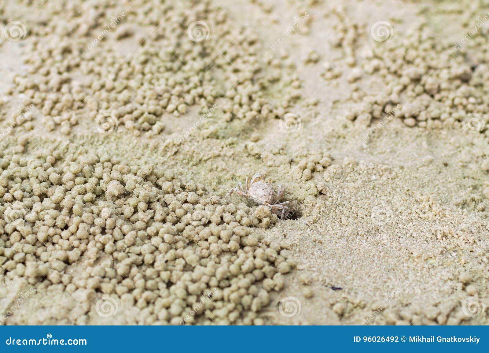 Mały ducha krab robi piasek piłce