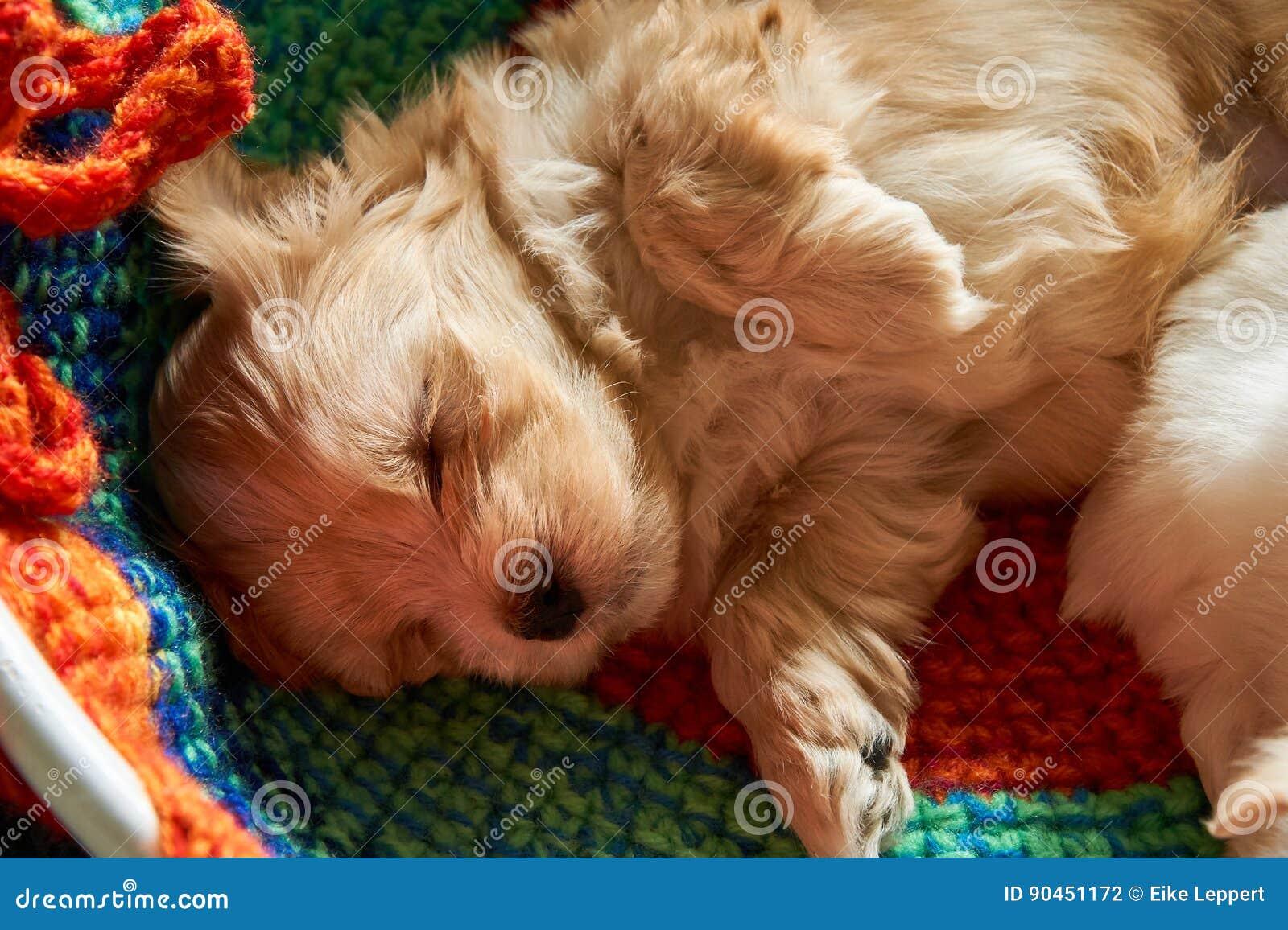 Mały havanese szczeniaka dosypianie na łóżku