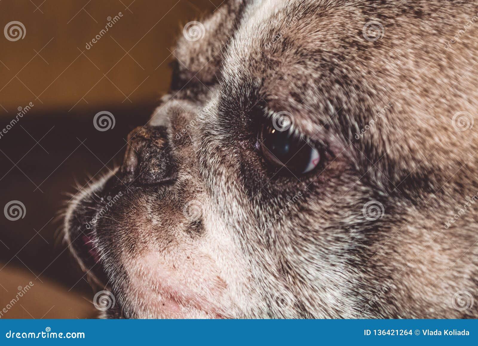 Mały i czarno biały nierówny pies Traken Kan Corso, Francuski buldog Uroczy i marszczący nos kagana i menchii pet