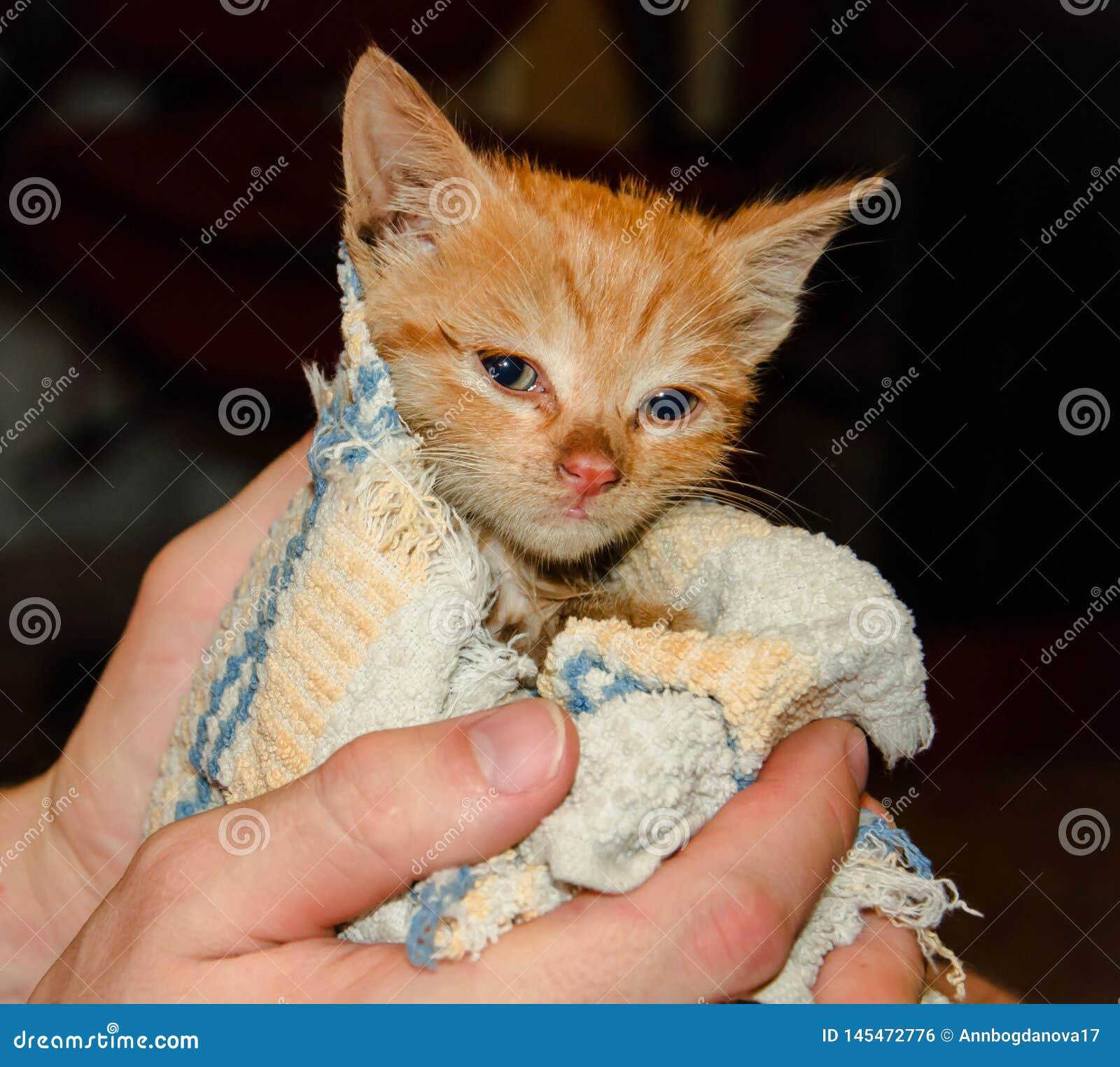 Mały imbirowy kot w ręce