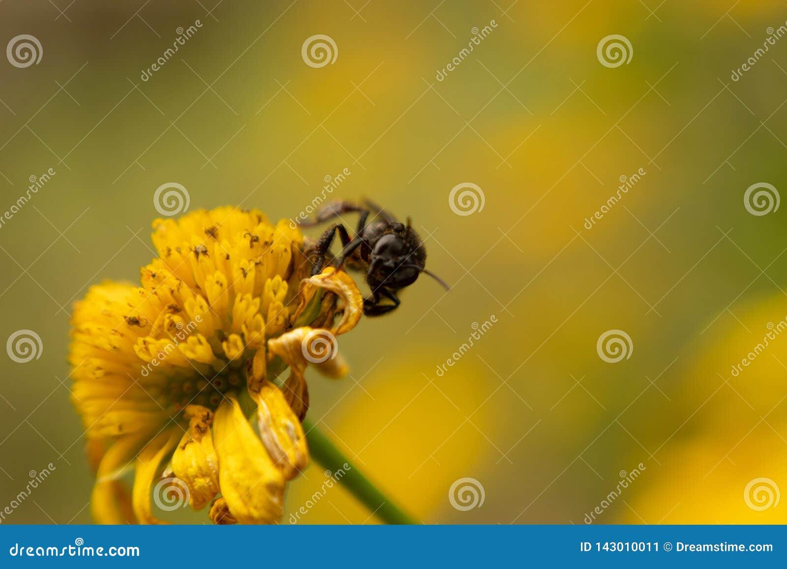 Mały insekt lądujący na żółtym słoneczniku