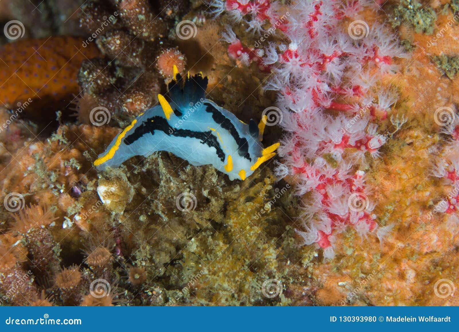 Mały Koronowany nudibranch Polycera capensis na rafie