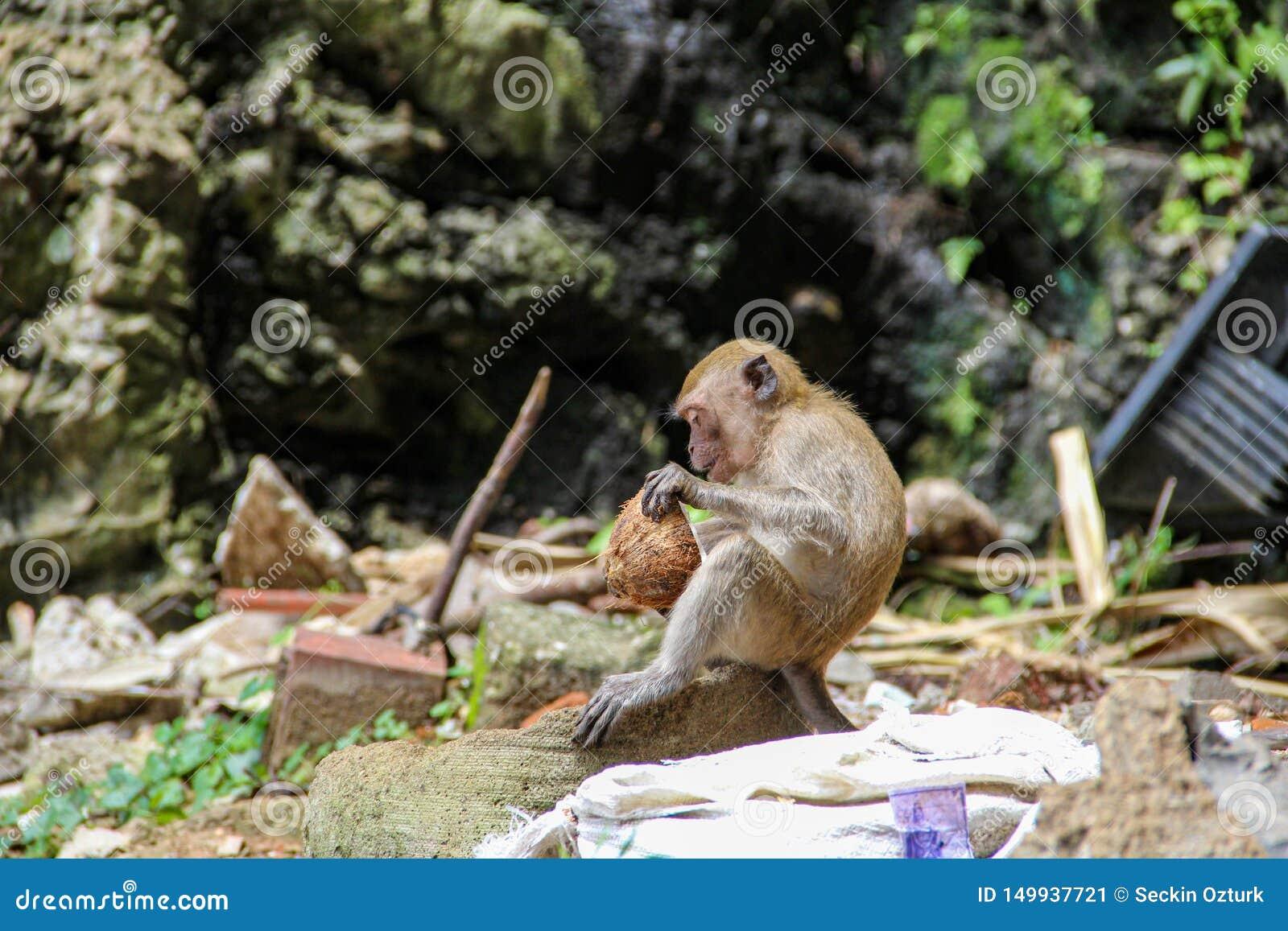 Mały małpi łasowanie koks w hinduskiej świątyni, India