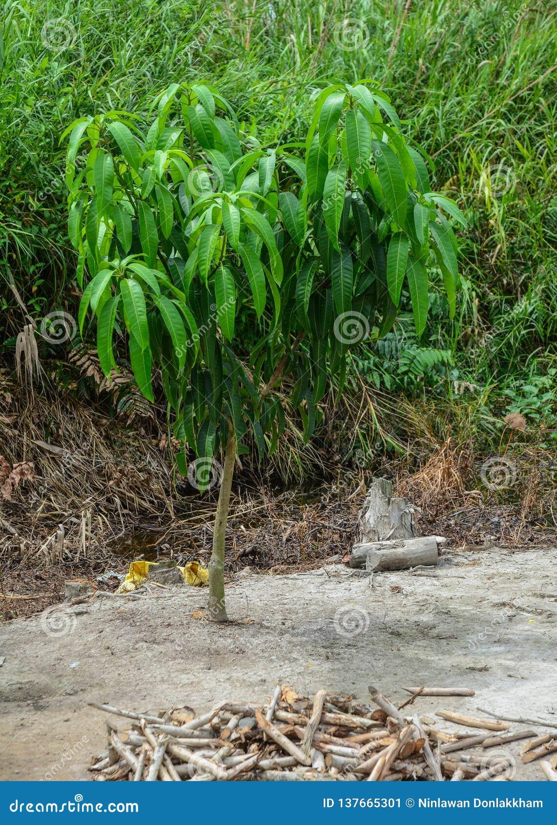 Mały mangowy drzewo przy plantacją