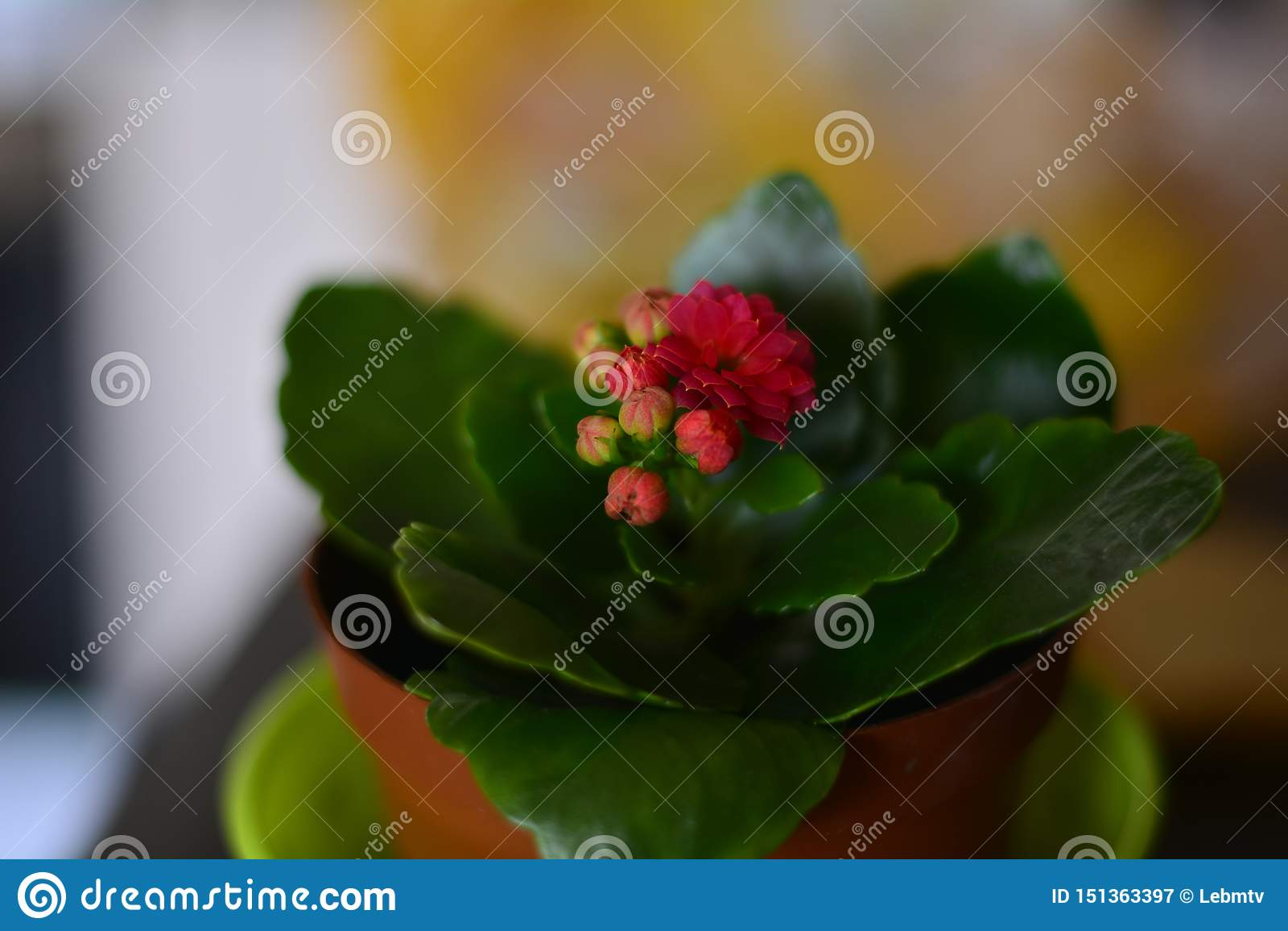 Mały menchia kwiat na okno