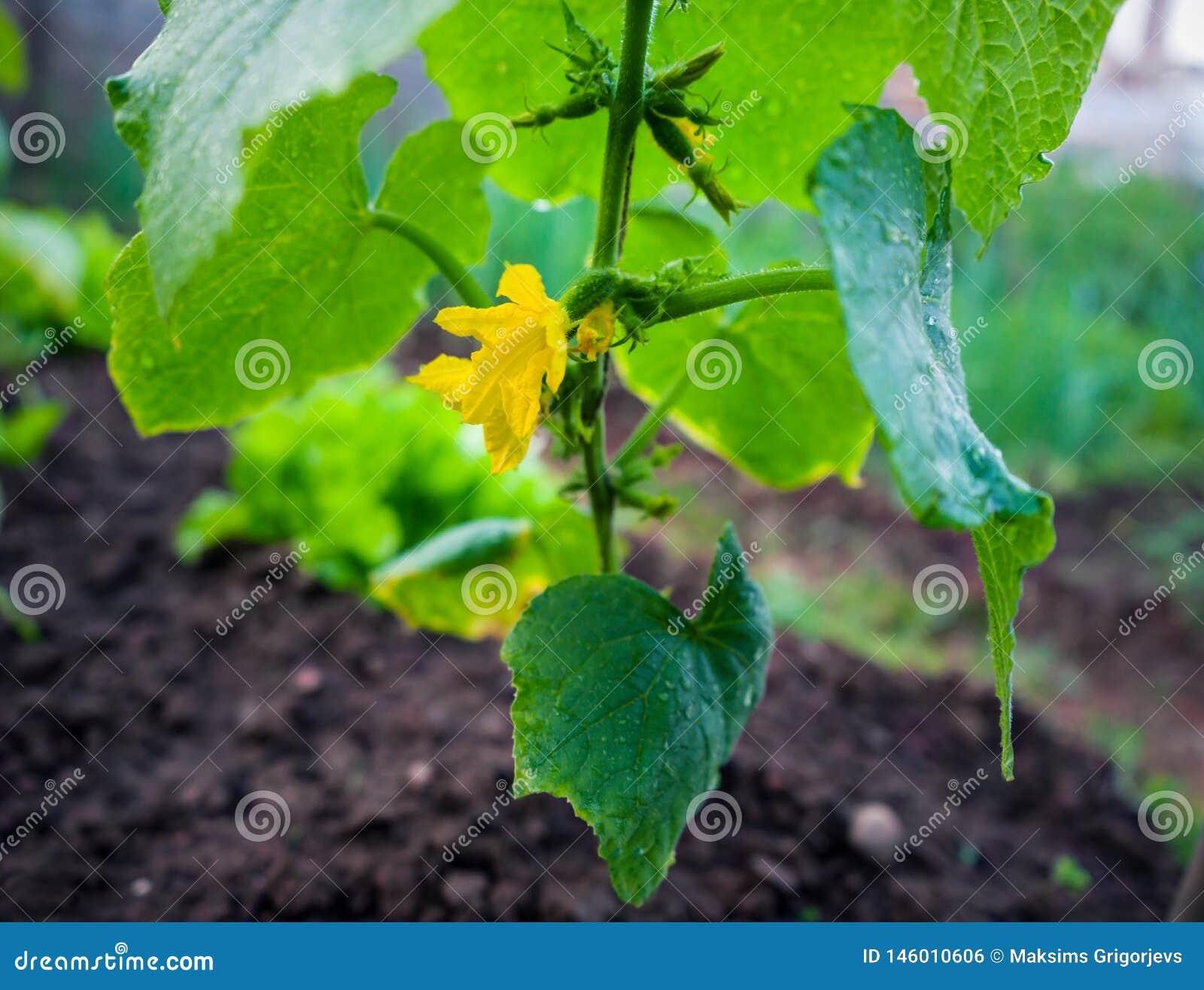 Mały ogórek z kwiatem i tendrils w ogródzie