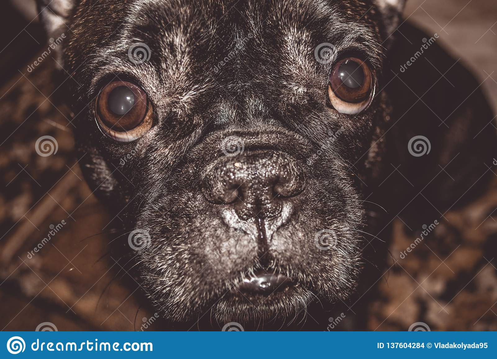 Mały pies czarny kolor z uroczymi oczami i wielkimi ucho Marszczący kaganiec rodowód Traken Kan Corso, Francuski buldog pet