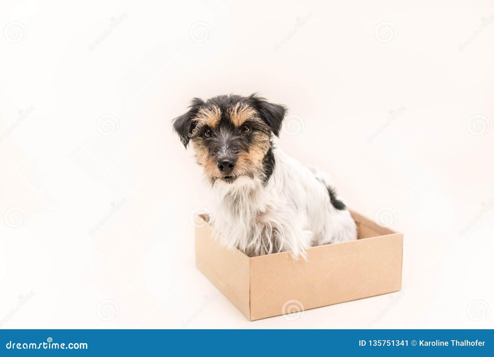 Mały pies siedzi obediently w kartonie przygotowywa dla opancerzania Śliczny Jack Russell Terrier doggy 4 lat - włosiany styl szo