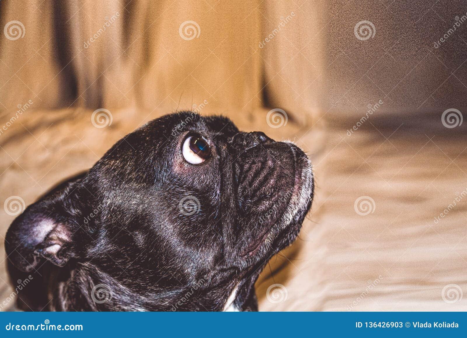 Mały pies z uroczymi oczami i wielkimi ucho Marszczący kaganiec rodowód Traken Kan Corso, Francuski buldog pet