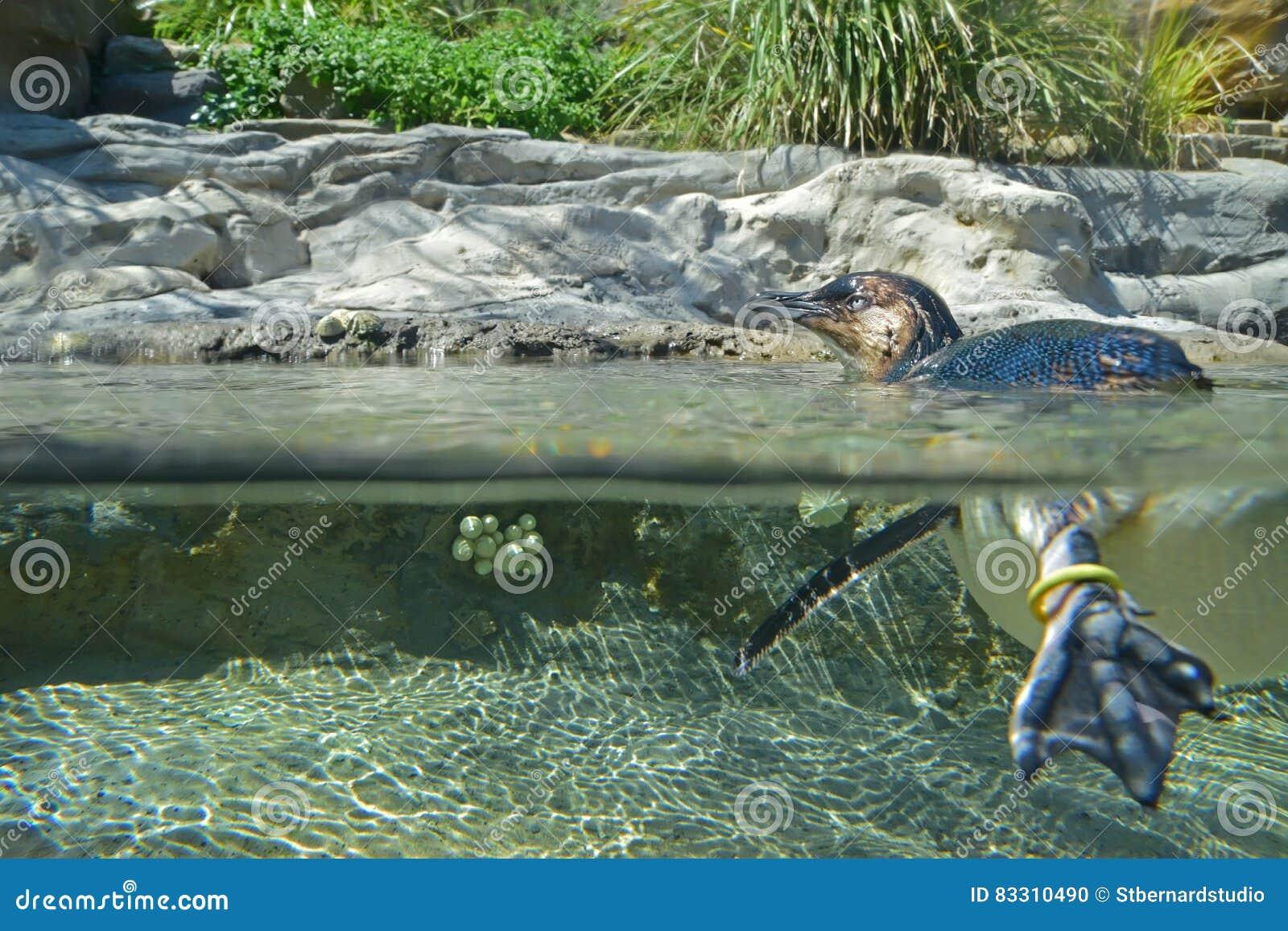 Mały pingwin nad i pod woda