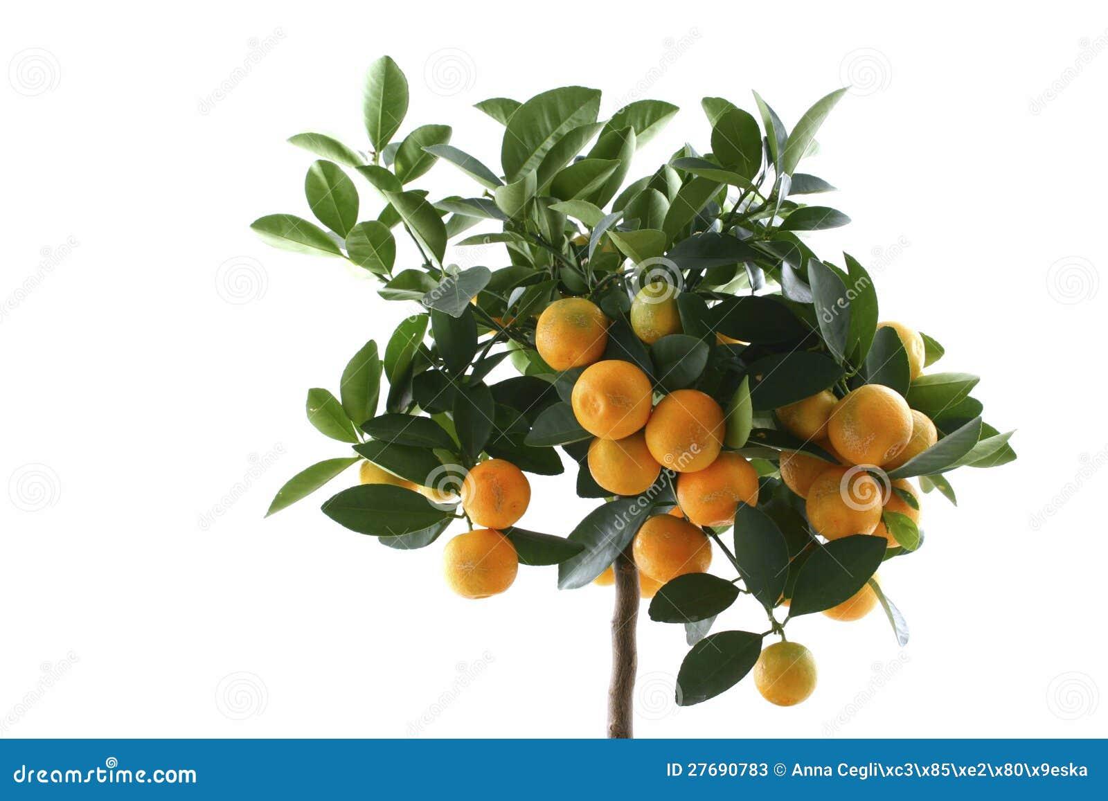 Mały pomarańczowy drzewo odizolowywał