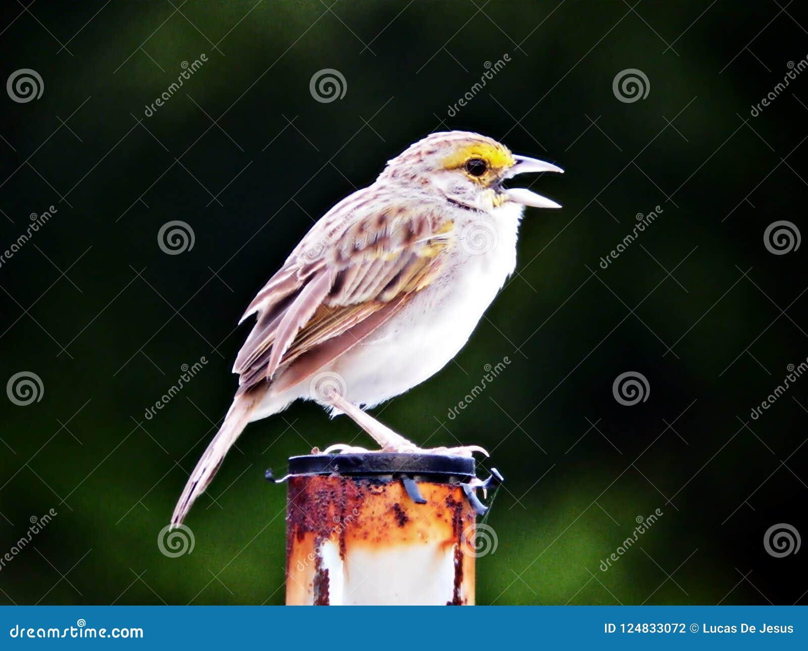 Mały ptasi śpiew i ja isn ` t noc