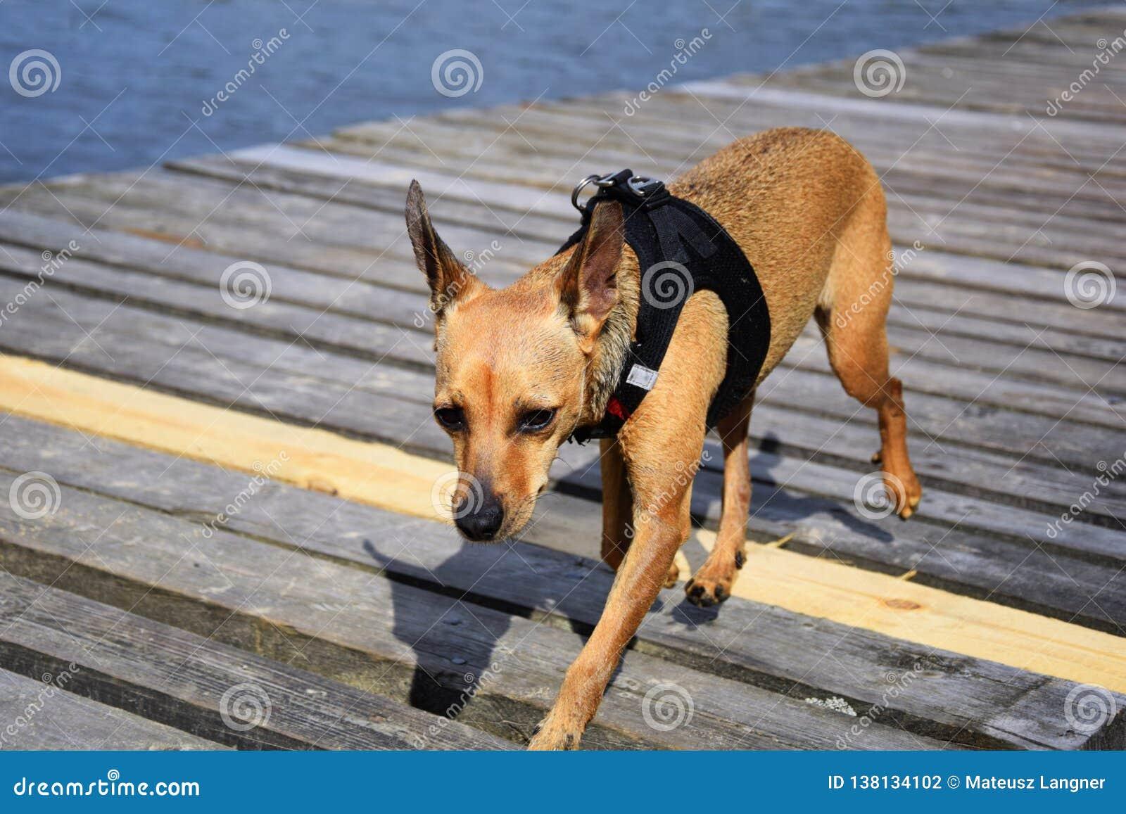 Mały smutny pies