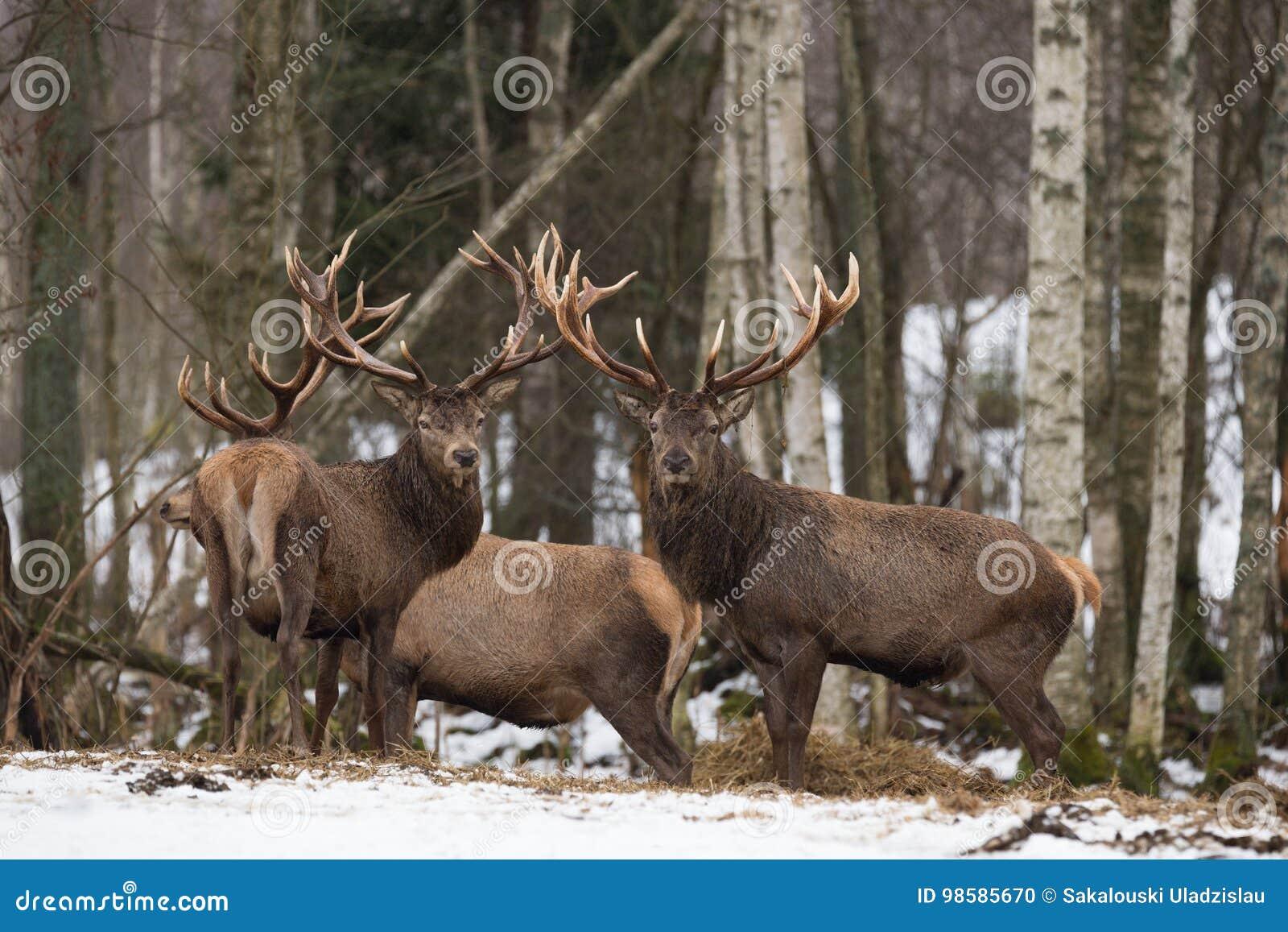 Mały stado Czerwonego rogacza Cervidae: Dwa rogaczy jeleń, spojrzenia Przy Tobą Kilka Piękny Dorosły Jeleni Cervus Elaphus W zima