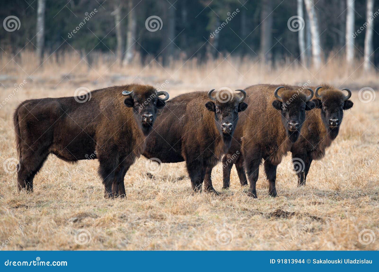 Mały stado stoi na polu w tle las wielki czerwony żubr z dużymi rogami