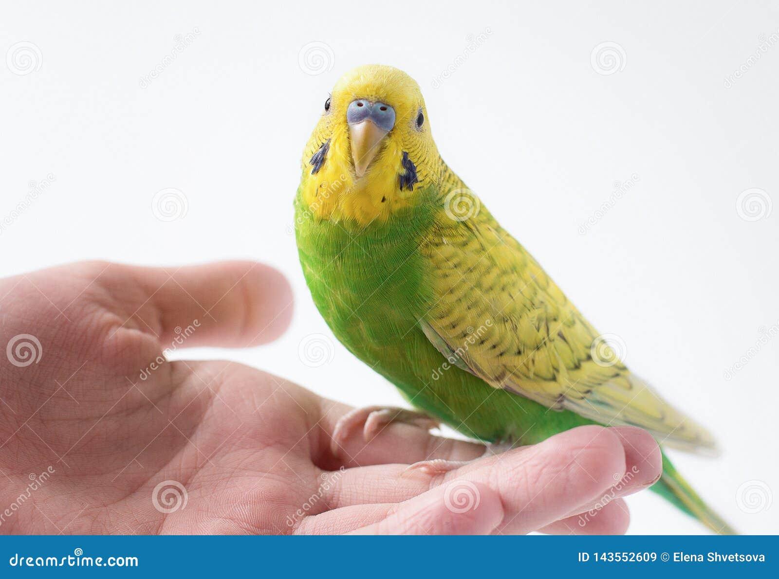 Mały zielony parakeet obsiadanie na ręce Śliczna mała papuga