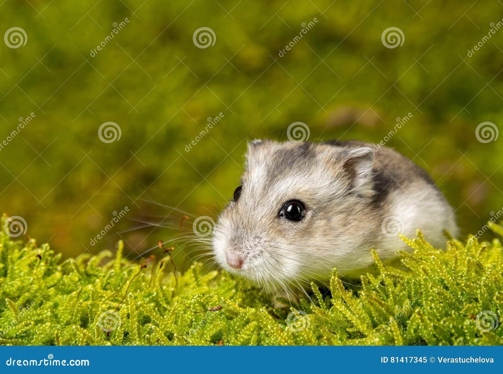 Mały zwierzę domowe chomik