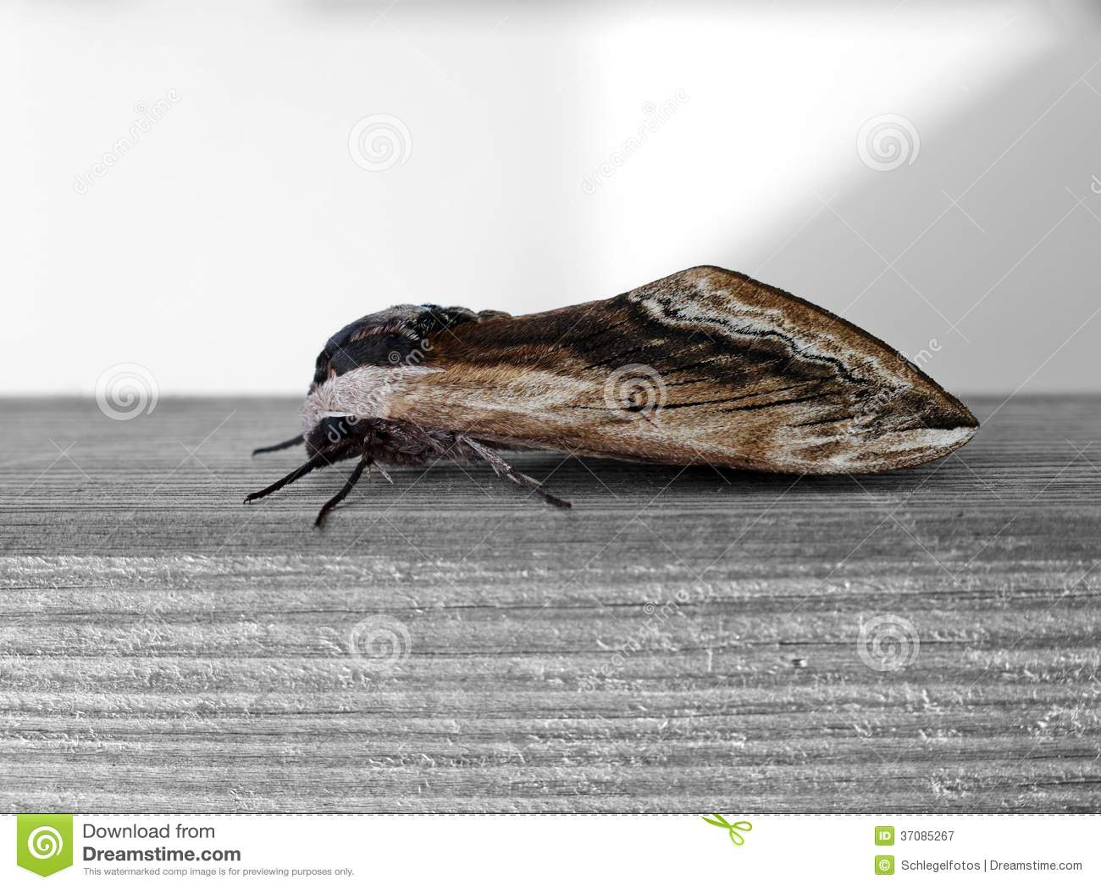 Download Ćma insekt na drewnie obraz stock. Obraz złożonej z maniak - 37085267
