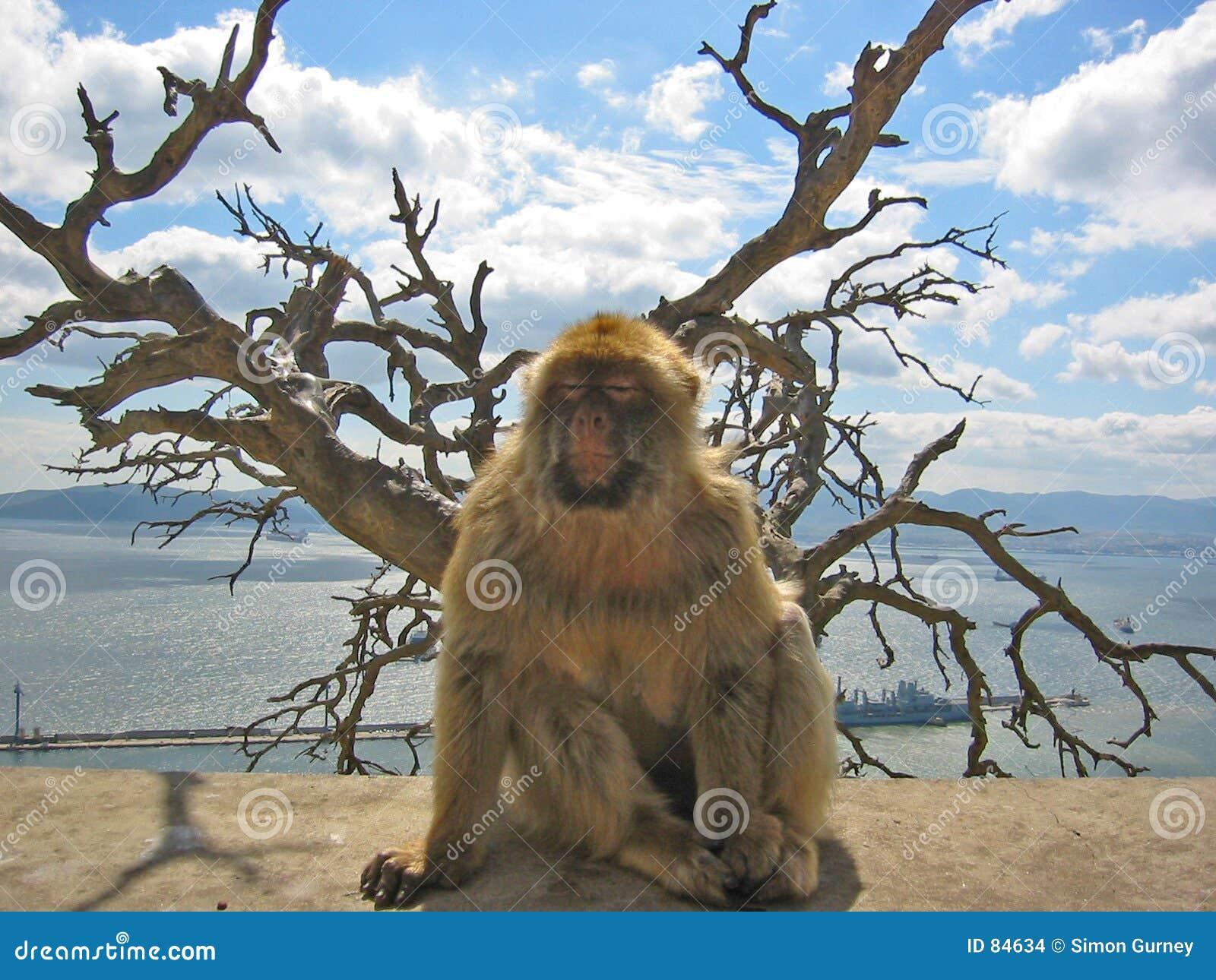 Małpa Barbary