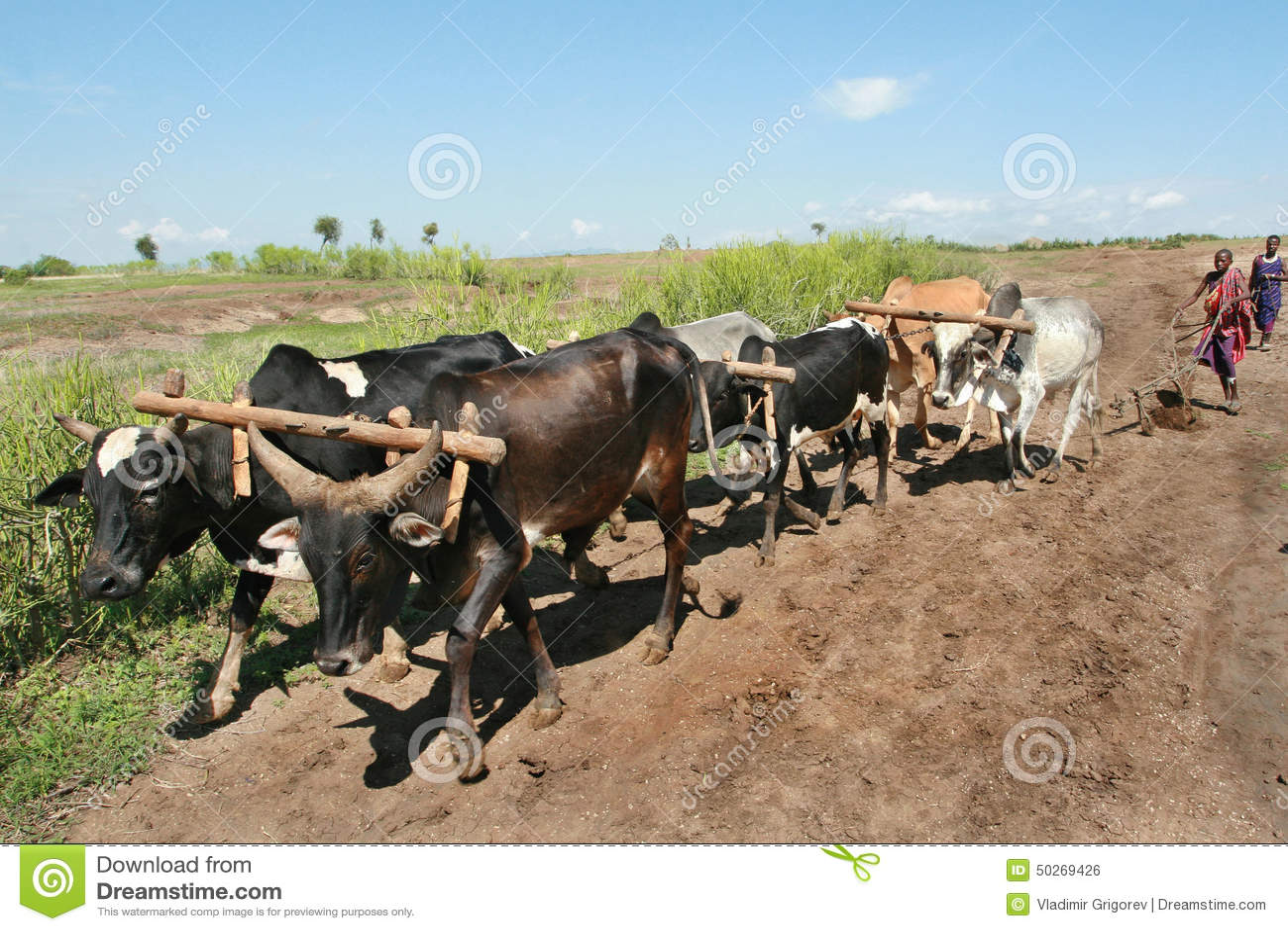 Maasai Plow Pulls The Harness Of Six Buffaloes. Editorial Photo ...