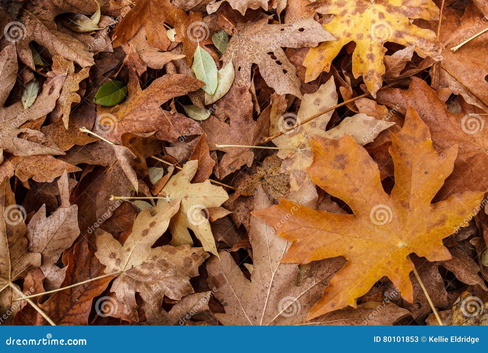 Maca da folha da queda