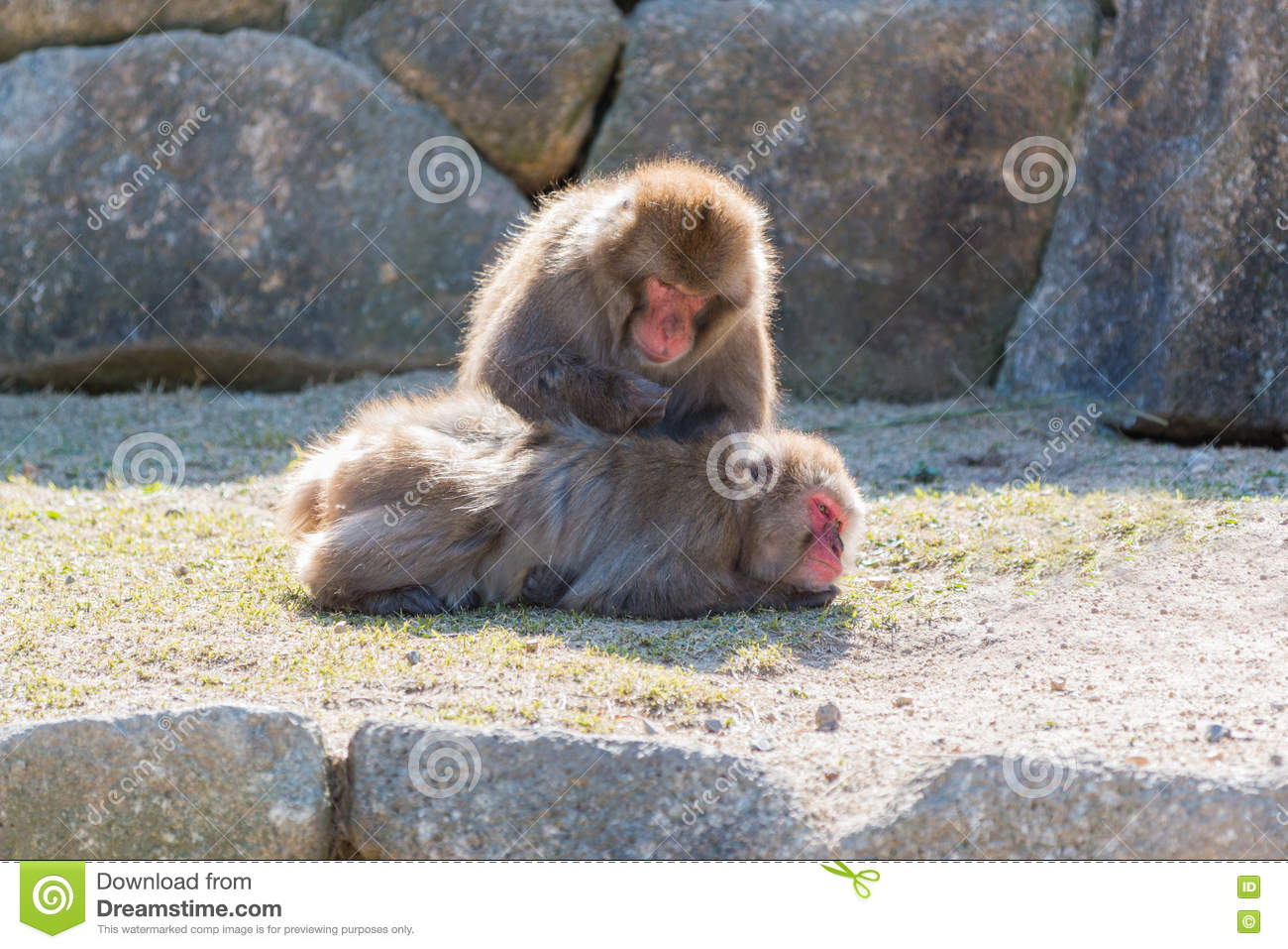 Macaca Fuscata Or Japanese Macaque Relaxing  Stock Photo - Image of