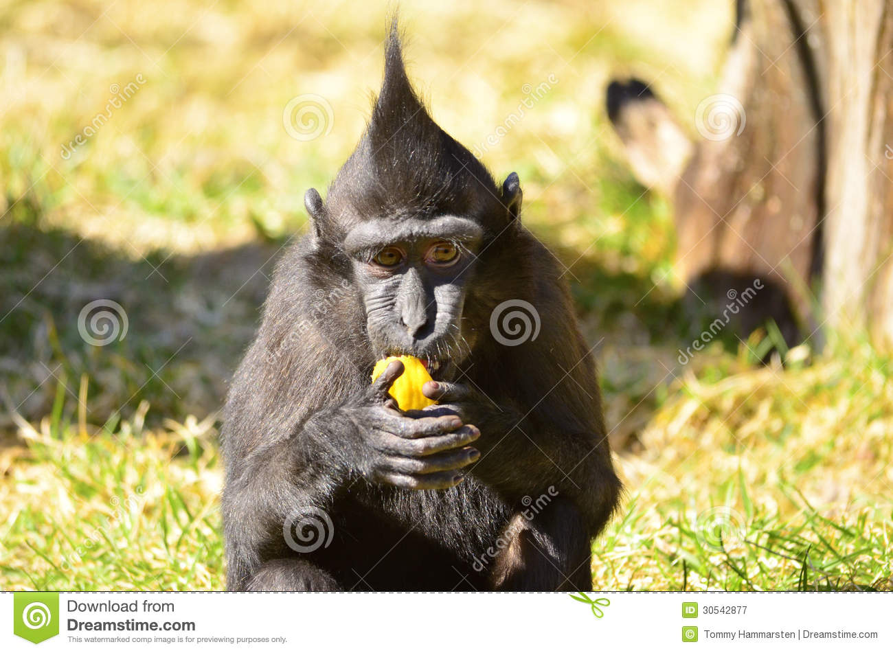 Macaca Nigra Baby Eating Fruit And Watchinglooks Funny With Mohawk