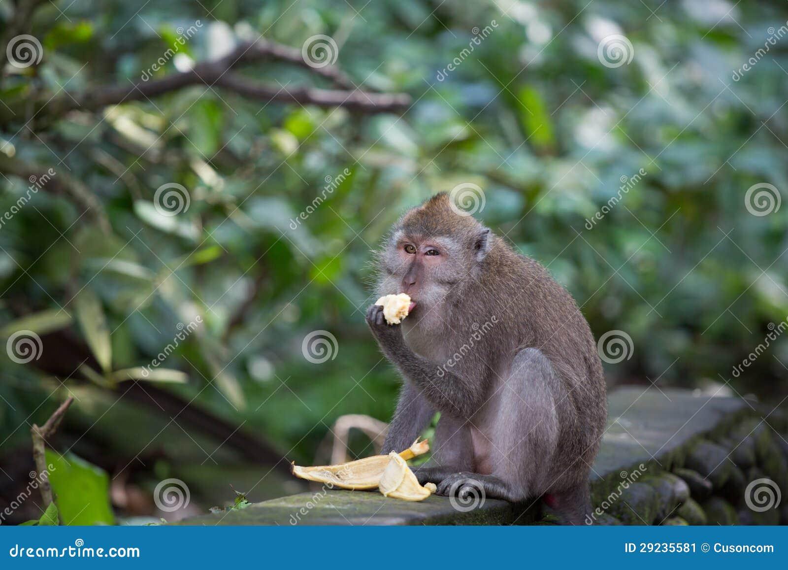 Download Macaco imagem de stock. Imagem de montanha, habitat, mamífero - 29235581