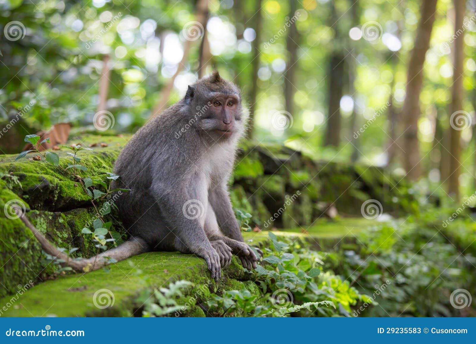 Download Macaco imagem de stock. Imagem de dois, montanha, animal - 29235583