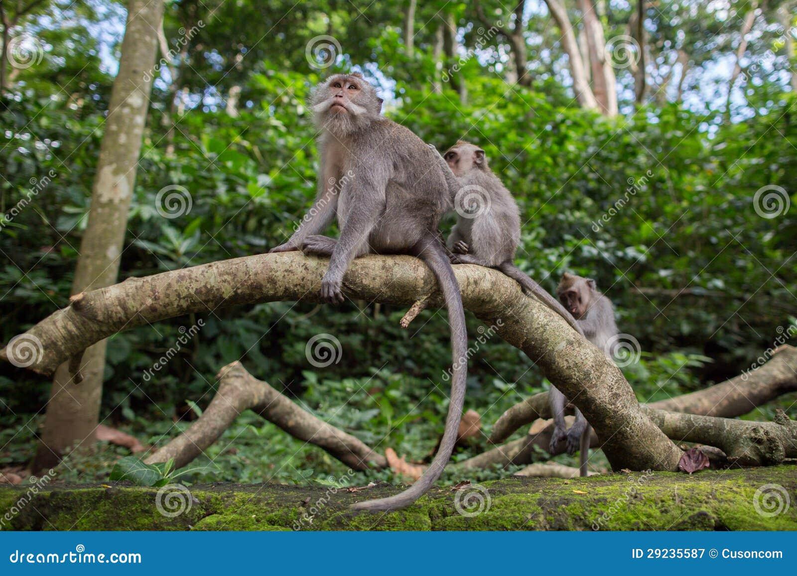 Download Macaco imagem de stock. Imagem de macaco, rocha, furry - 29235587