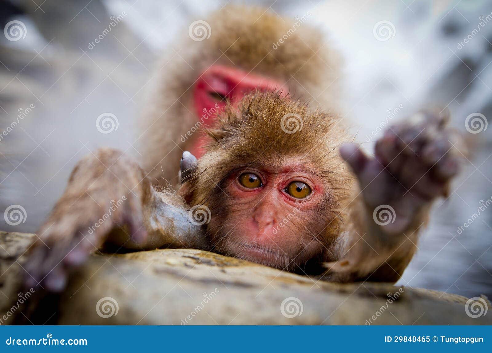 Mola quente do macaco