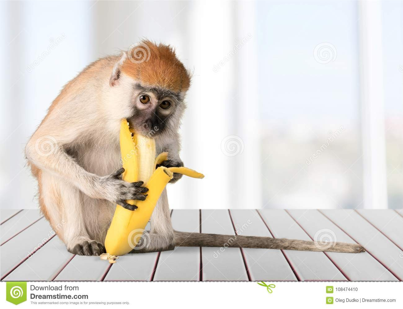 Macaco bonito que come o animal da banana no borrado