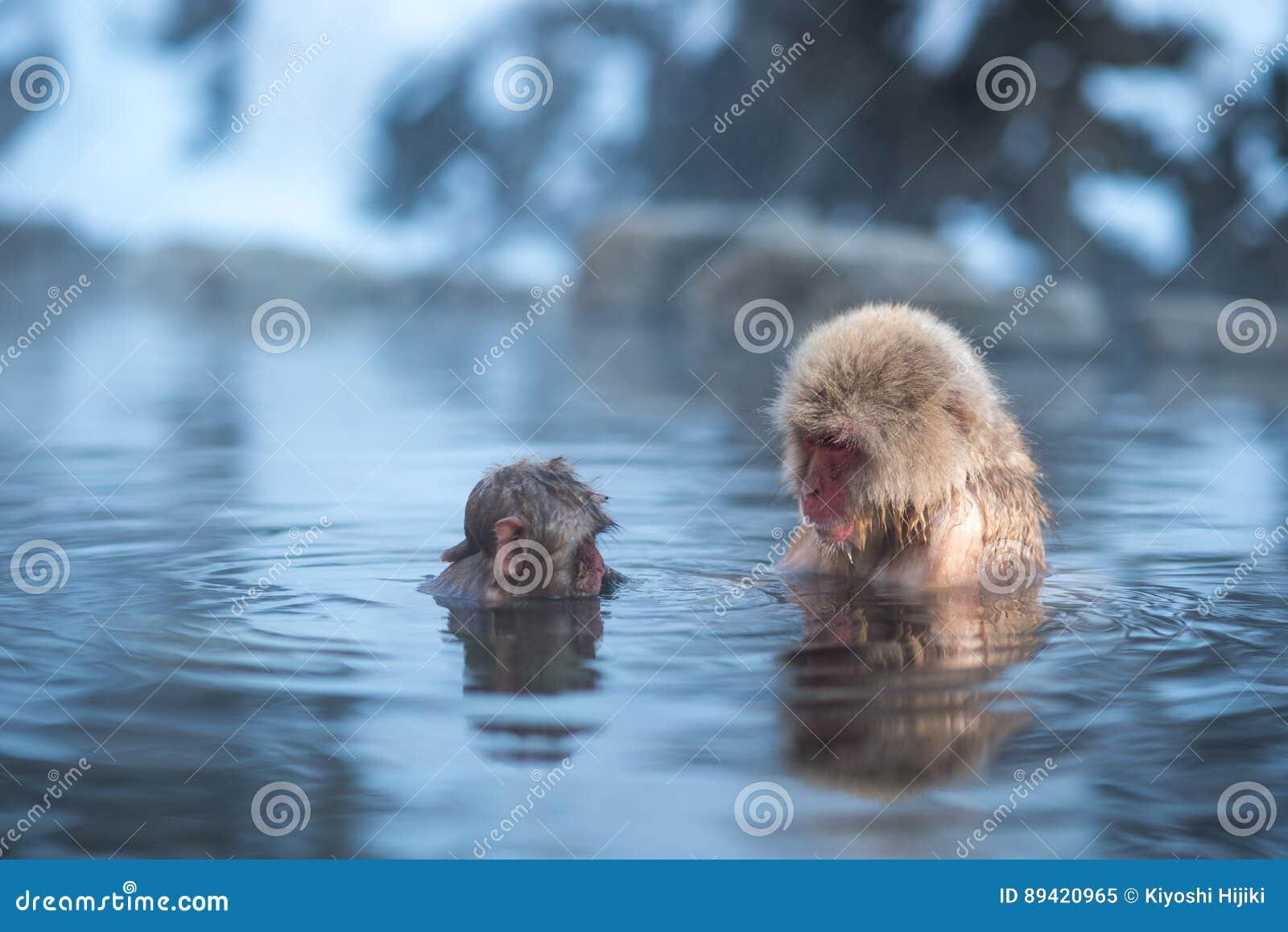 Macaco da neve na mola quente