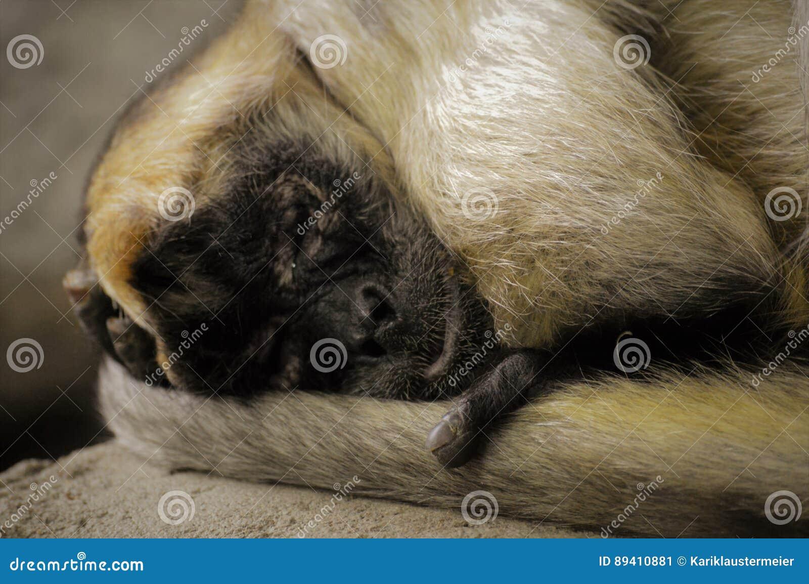 Macaco de aranha