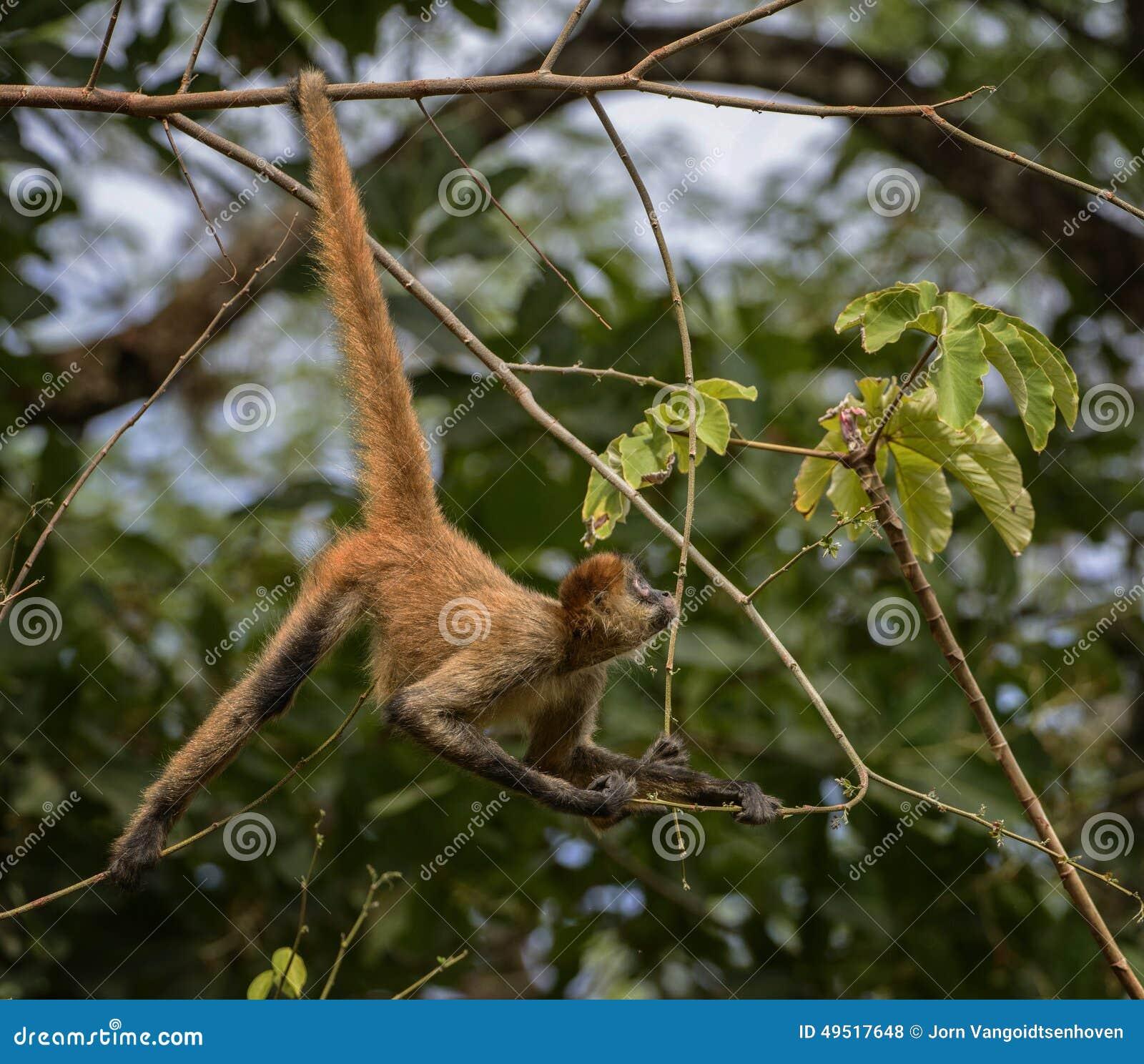 Macaco de aranha curioso