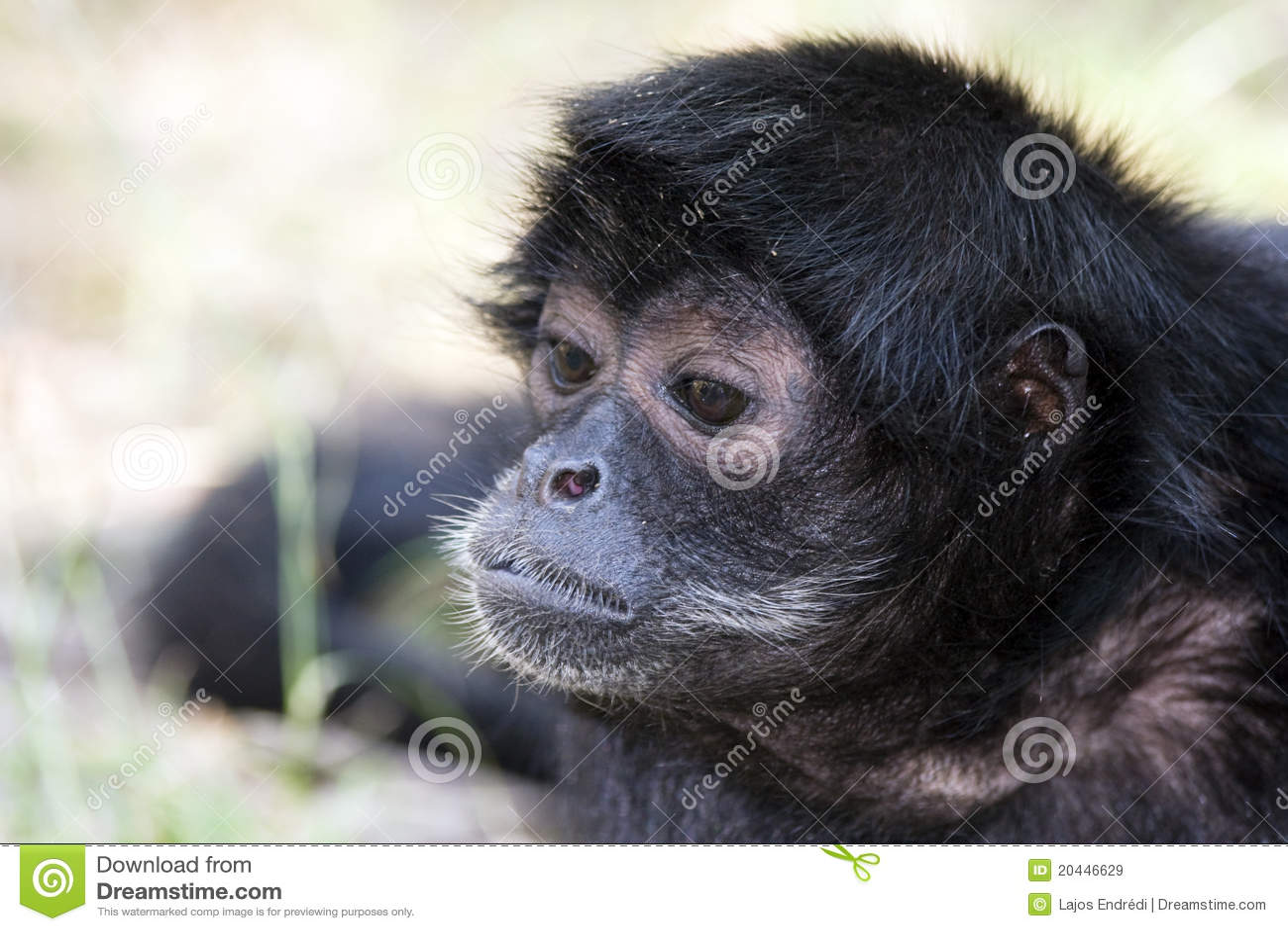 Macaco de aranha de cabeça negra