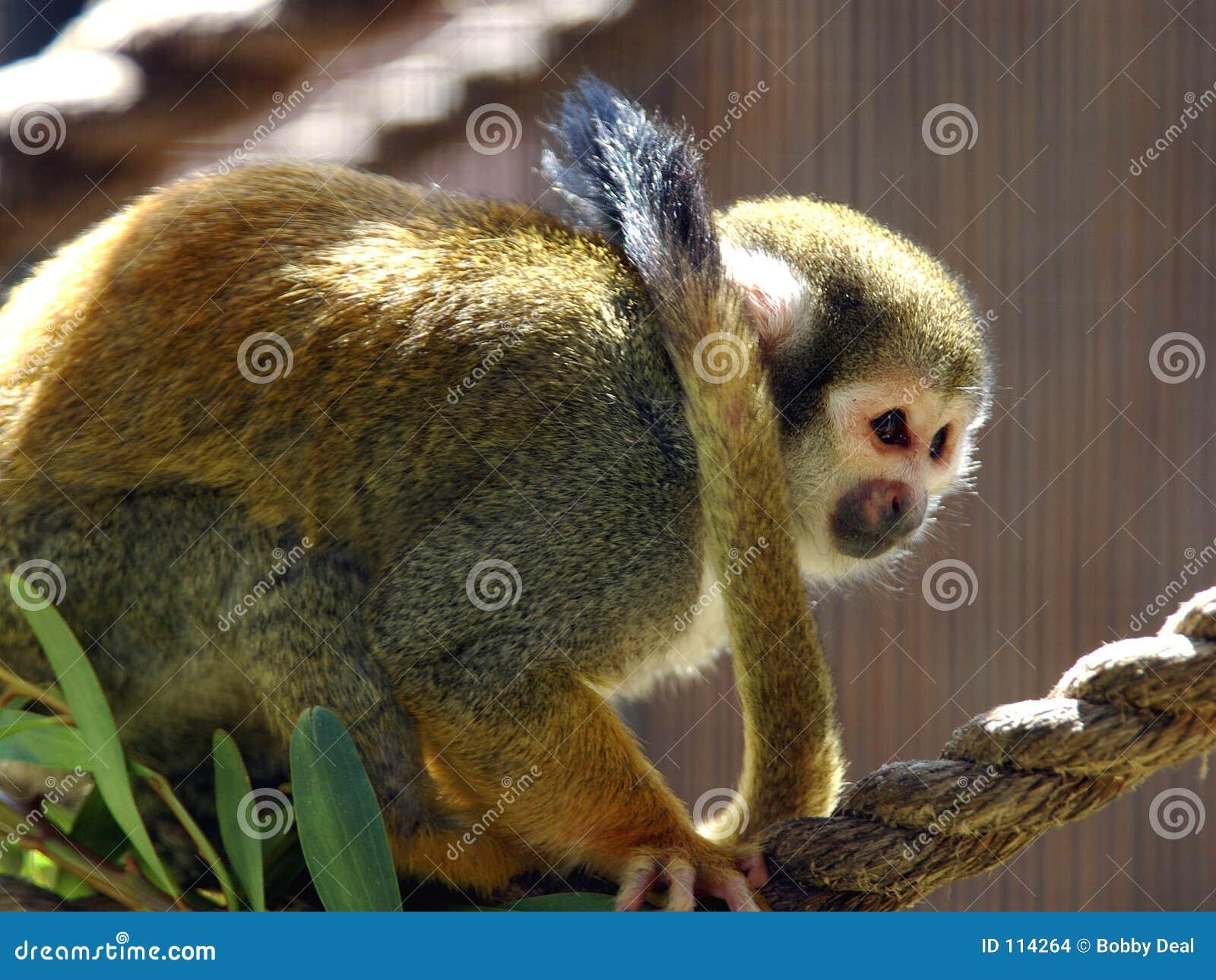 Macaco de esquilo