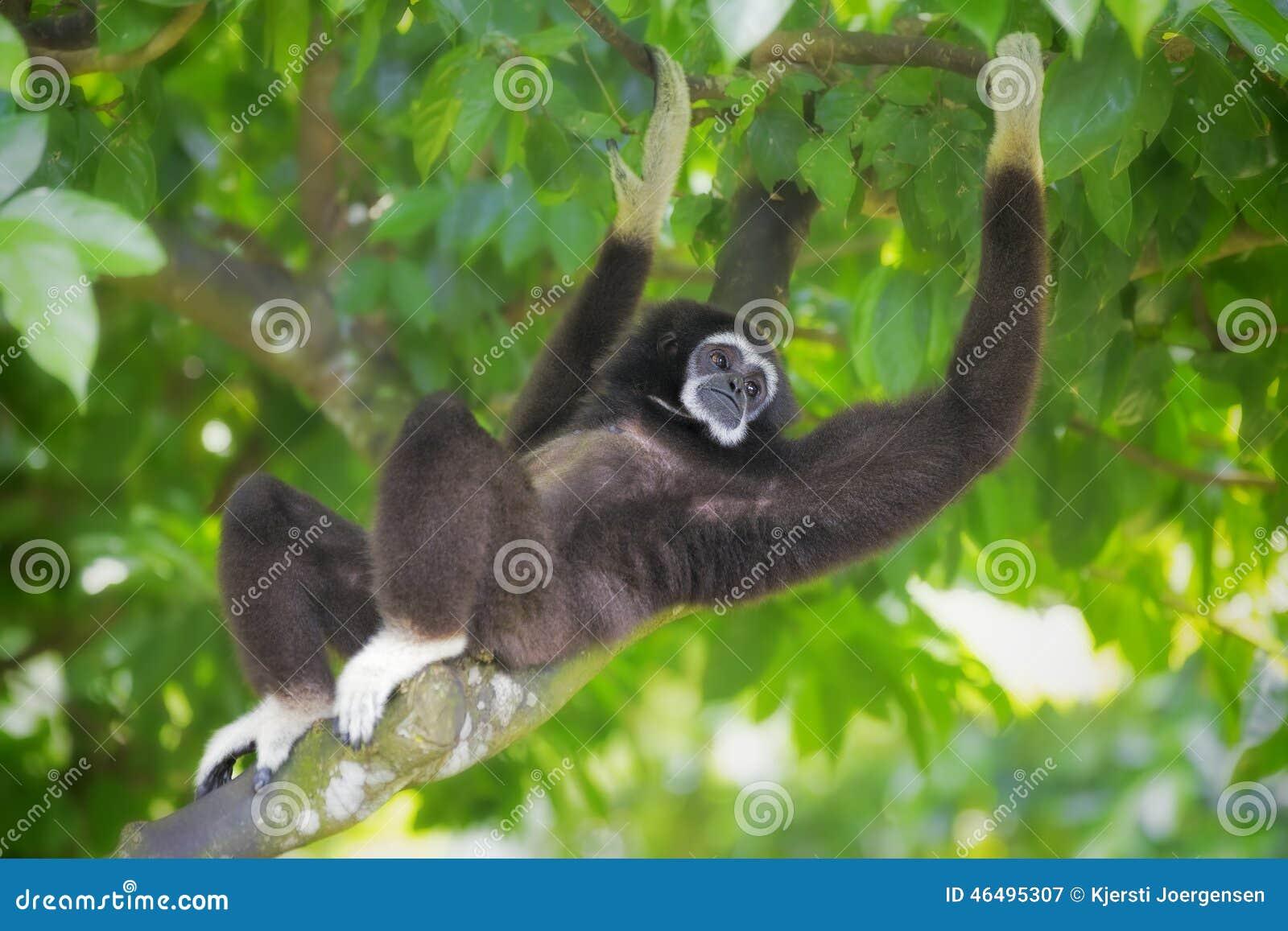 Macaco de Gibbon