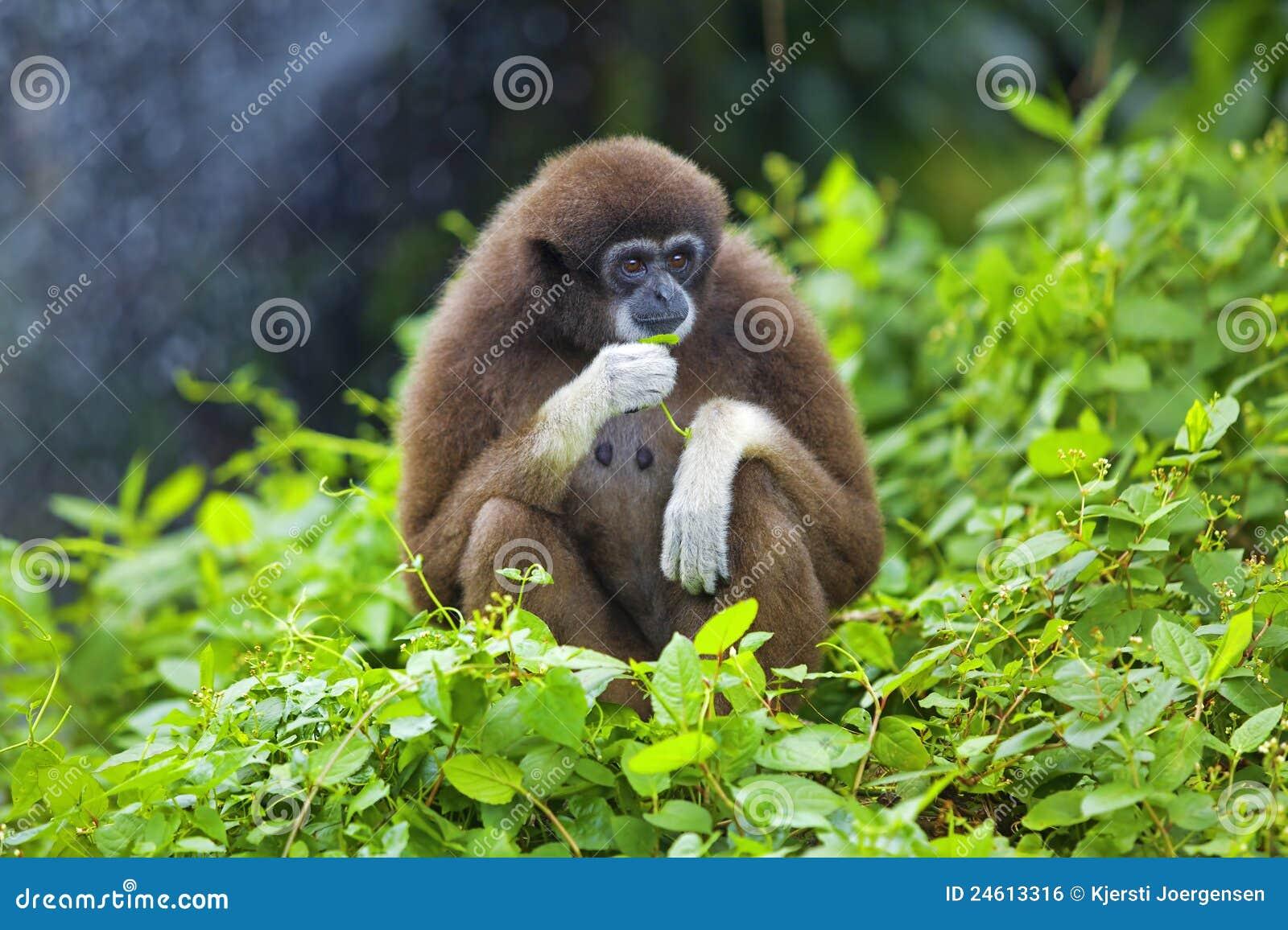 Macaco do Gibbon