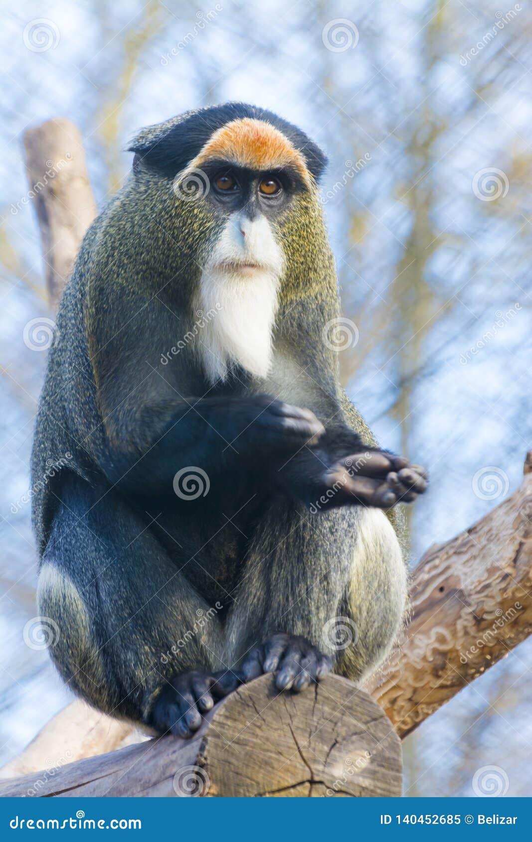 Macaco do ` s de De Brazza