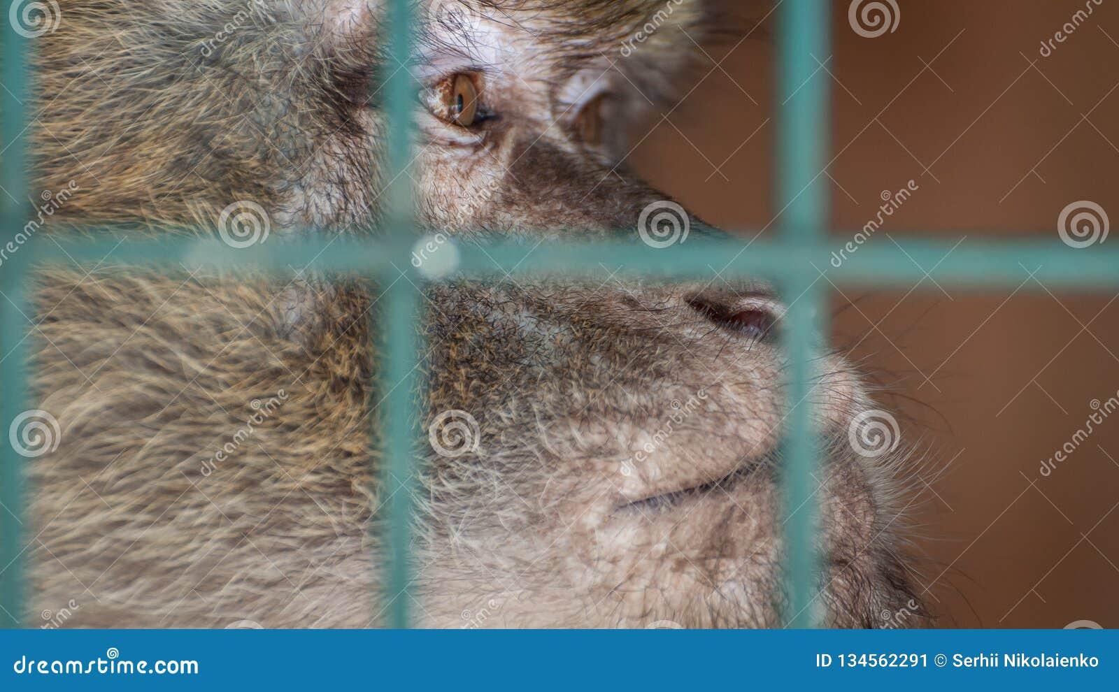 Macaco em uma gaiola atrás das barras Emoção da tristeza, desespero, depressão