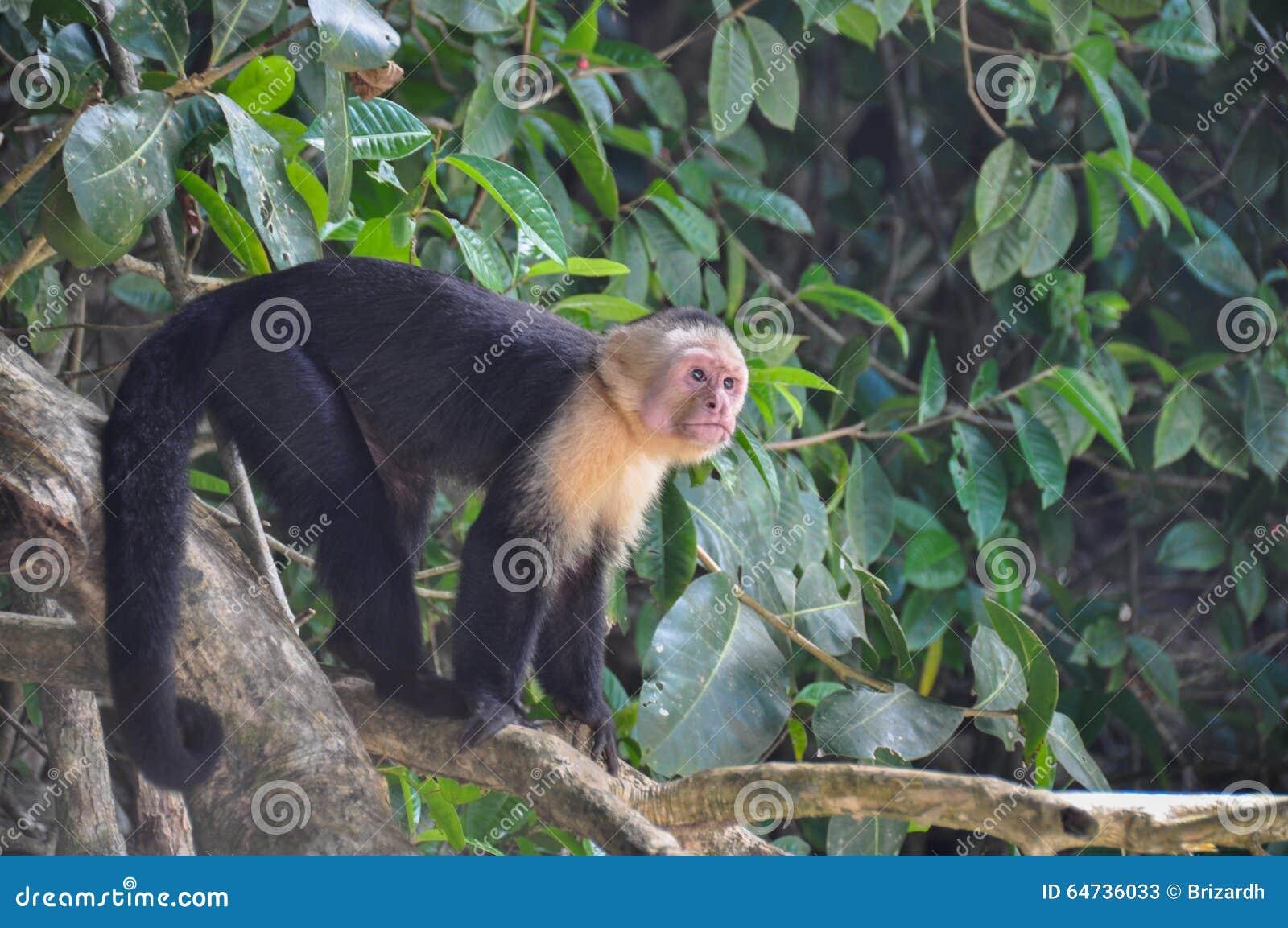 Macaco enfrentado branco do Capuchin em Manuel Antonio National Park, Cos