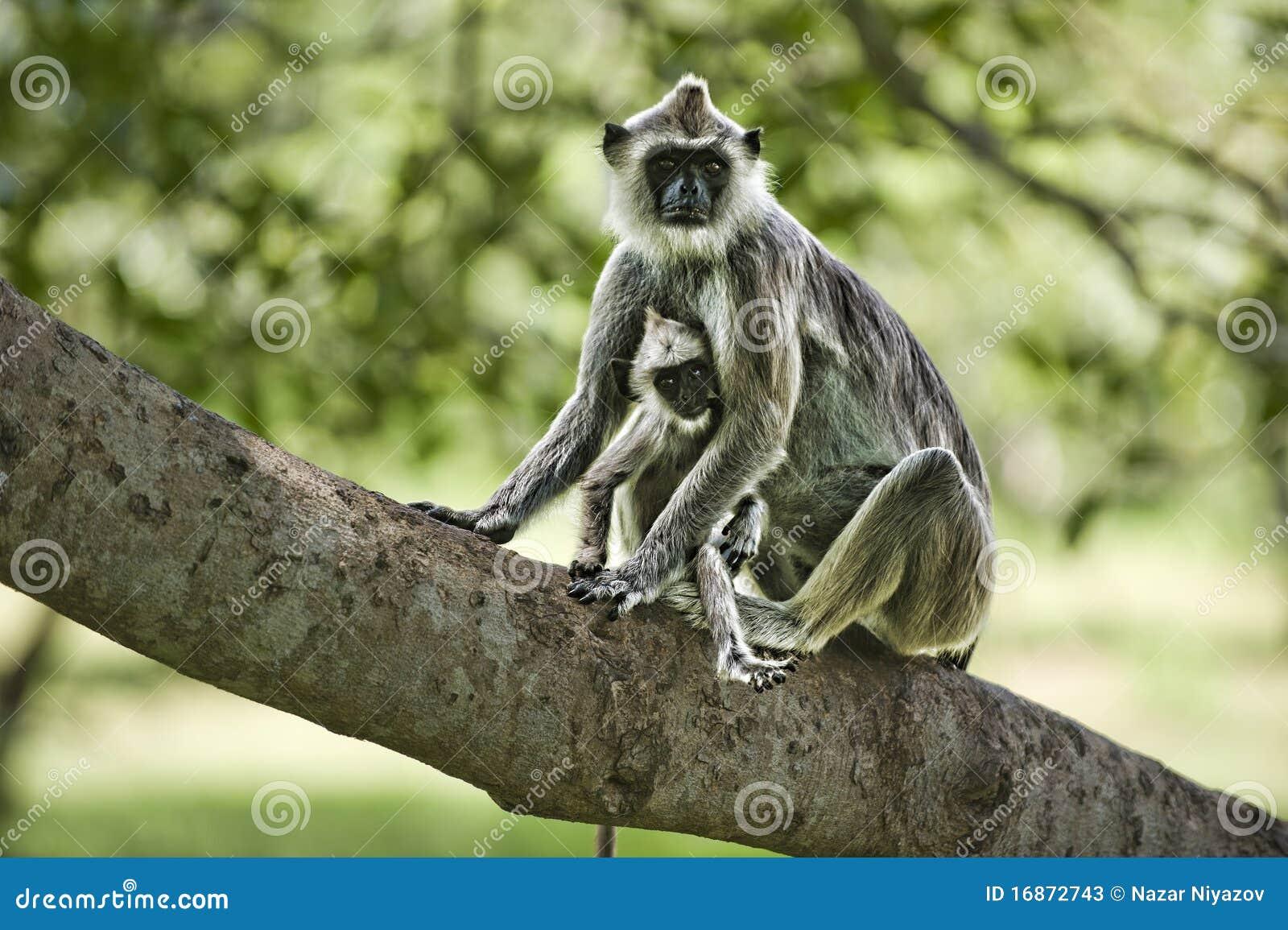 Macaco enfrentado roxo da folha com um bebê