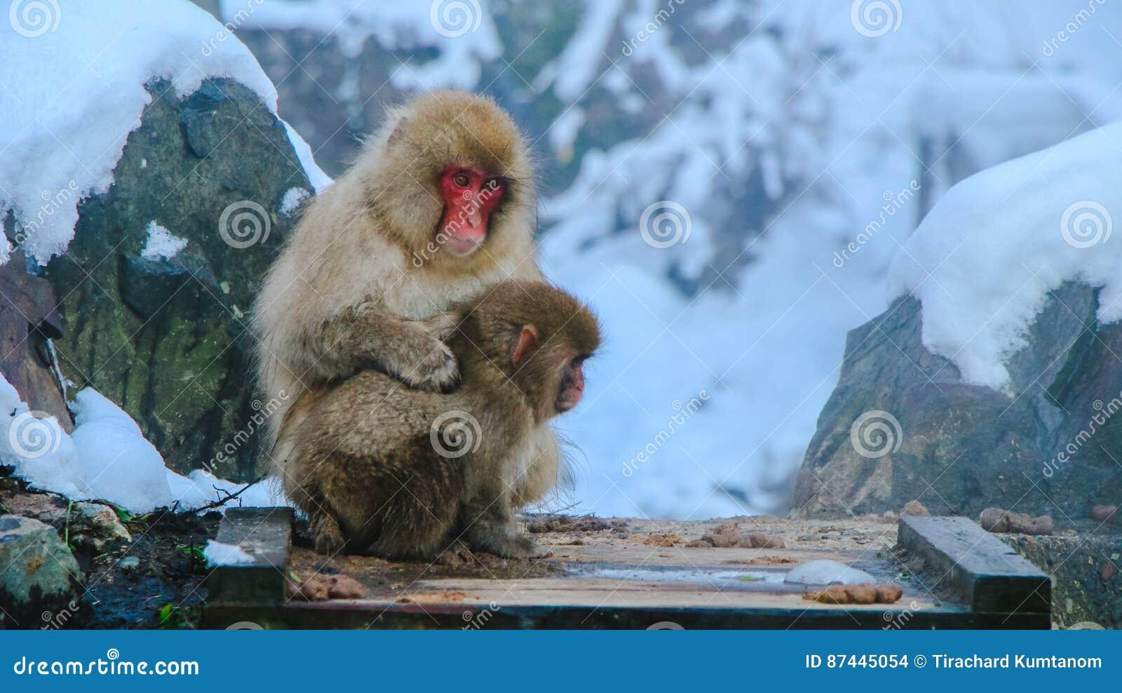 Macaco Giapponese Della Scimmia Della Neve Nel Parco Di Onsen